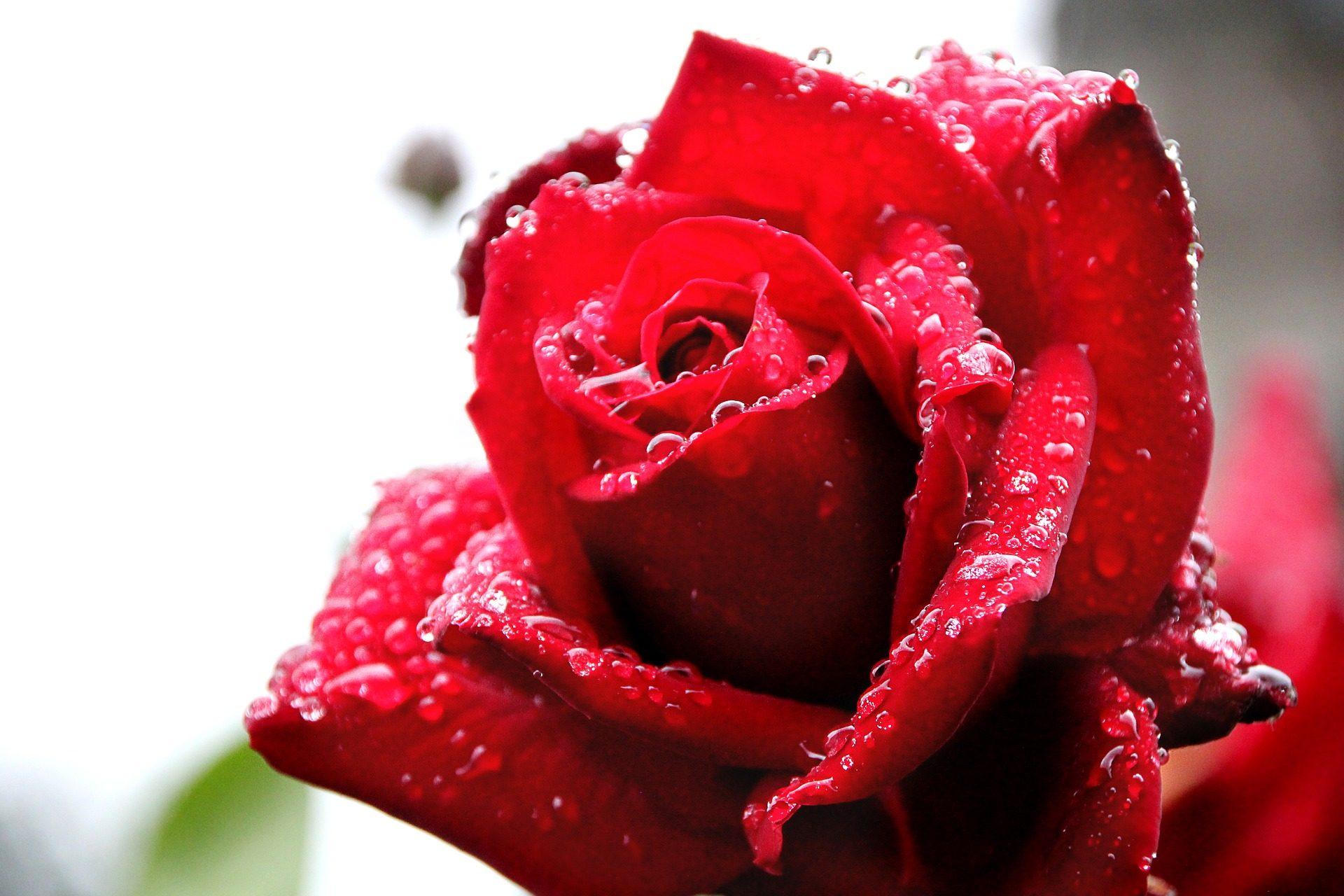 Rosa, fleur, Rocío, DROPS numéro, eau, pétales, Rouge - Fonds d'écran HD - Professor-falken.com