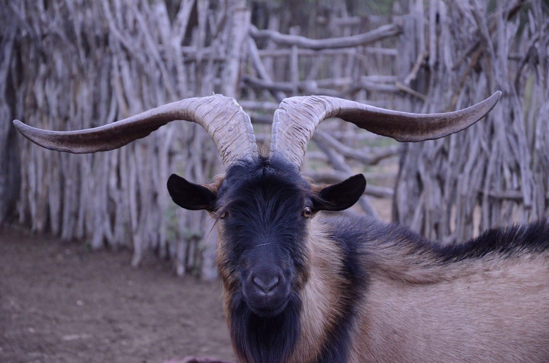 山羊, 喇叭, 字段, 家禽, 毛皮, 看看 - 高清壁纸 - 教授-falken.com