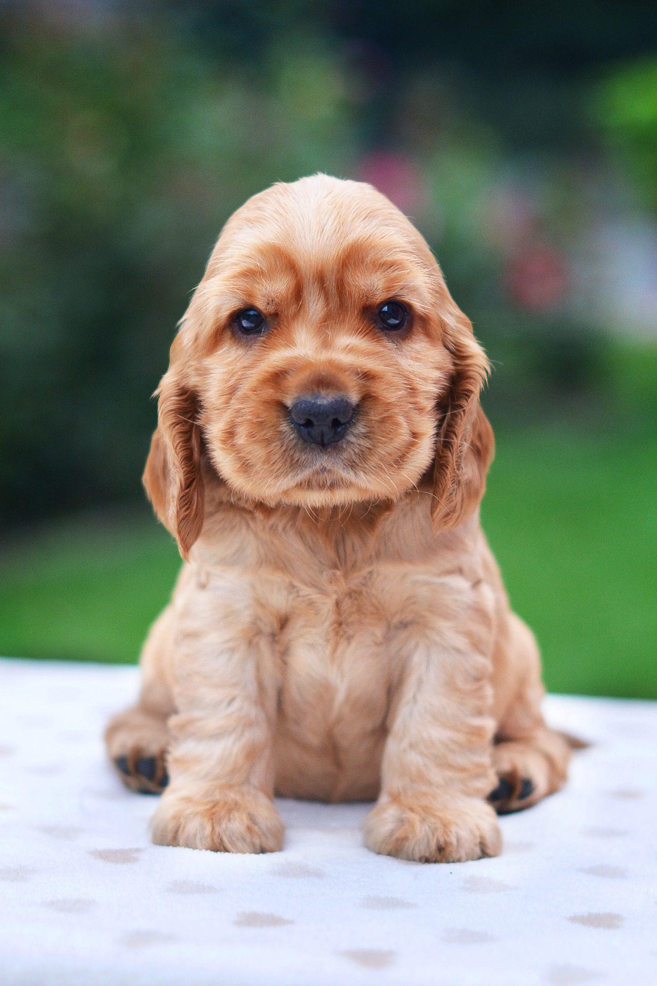 Chiot, chien, Animal de compagnie, fourrure, coup d'oeil, cocker spaniel - Fonds d'écran HD - Professor-falken.com