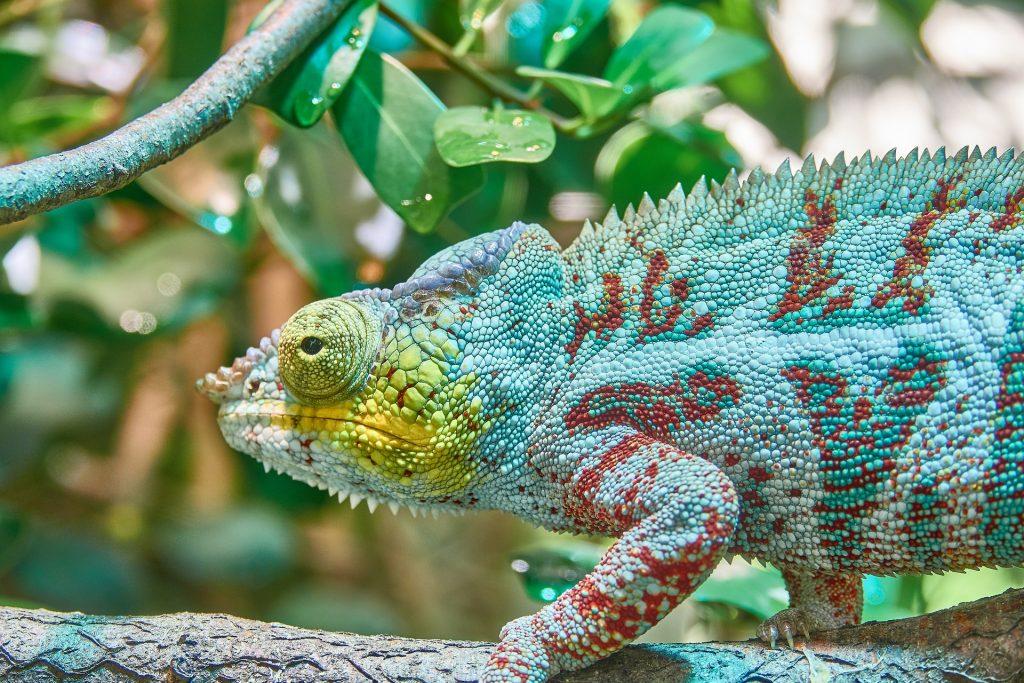 camaleón, colorido, escamas, ojos, camuflaje, 1803102137