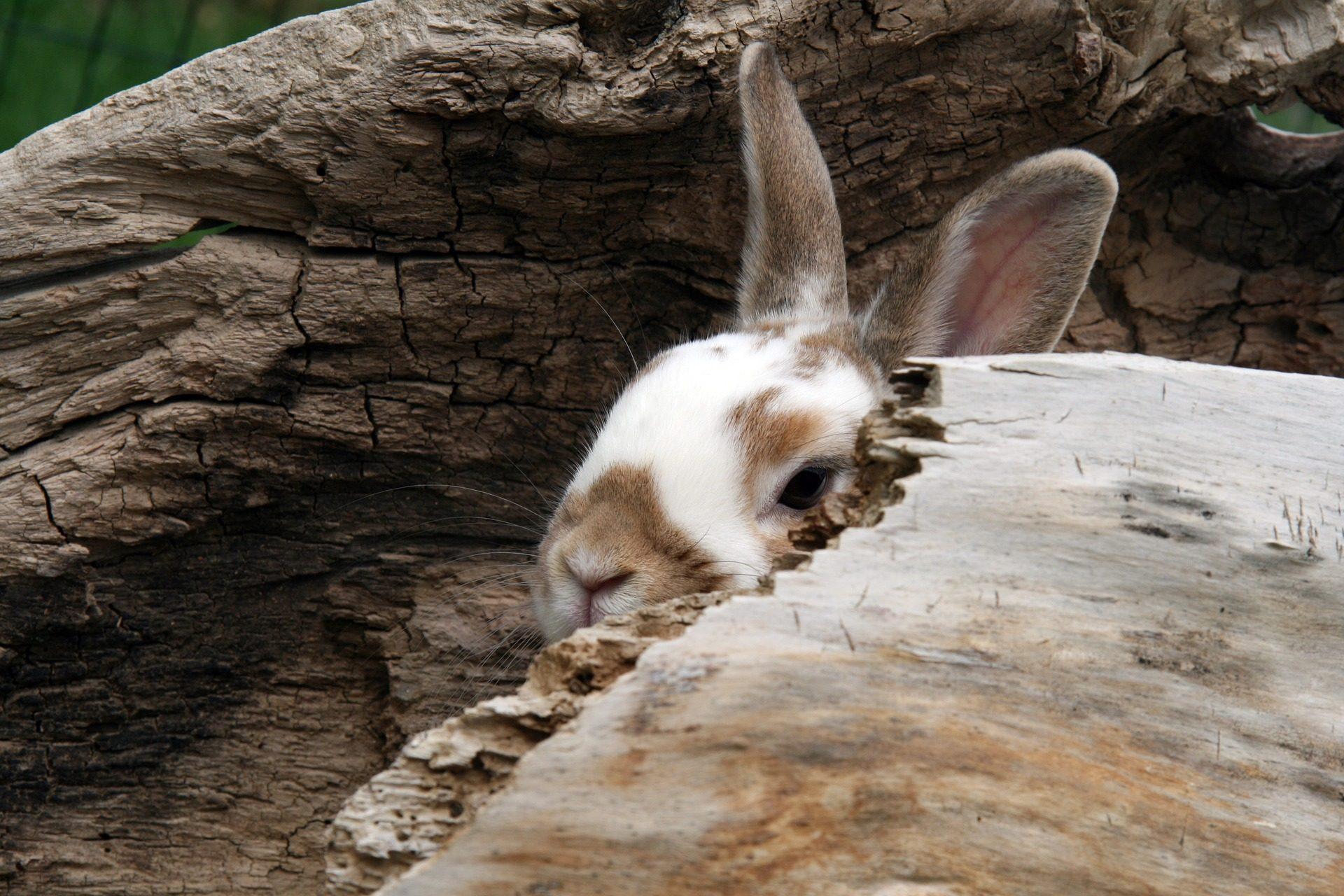 Coniglio, Tana, nascosta, orecchie, pelliccia - Sfondi HD - Professor-falken.com