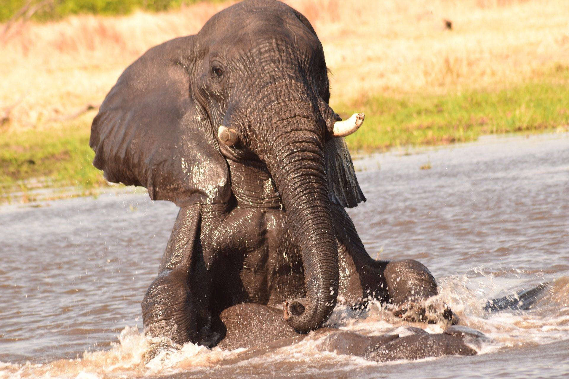 Elefant, Río, Wasser, Spiel, Bad, Reißzähne - Wallpaper HD - Prof.-falken.com