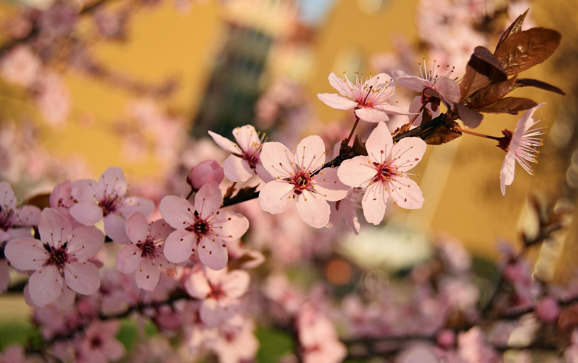 Цветы, лепестки, филиал, дерево, Весна - Обои HD - Профессор falken.com