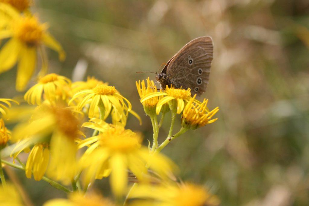 तितली, फूल, भू-तल, पंख, एंटेना, कीट, 1803181519