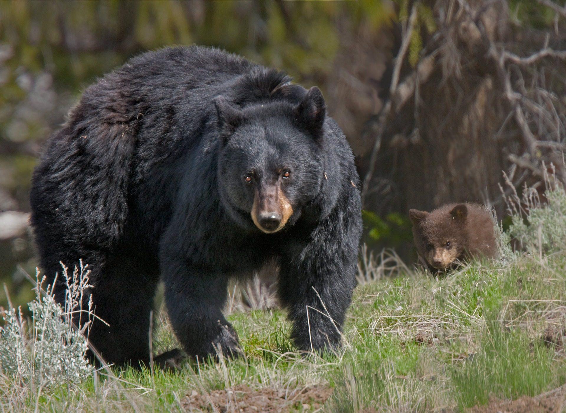 urso, filhote de urso, cría, floresta, campo, Olha - Papéis de parede HD - Professor-falken.com