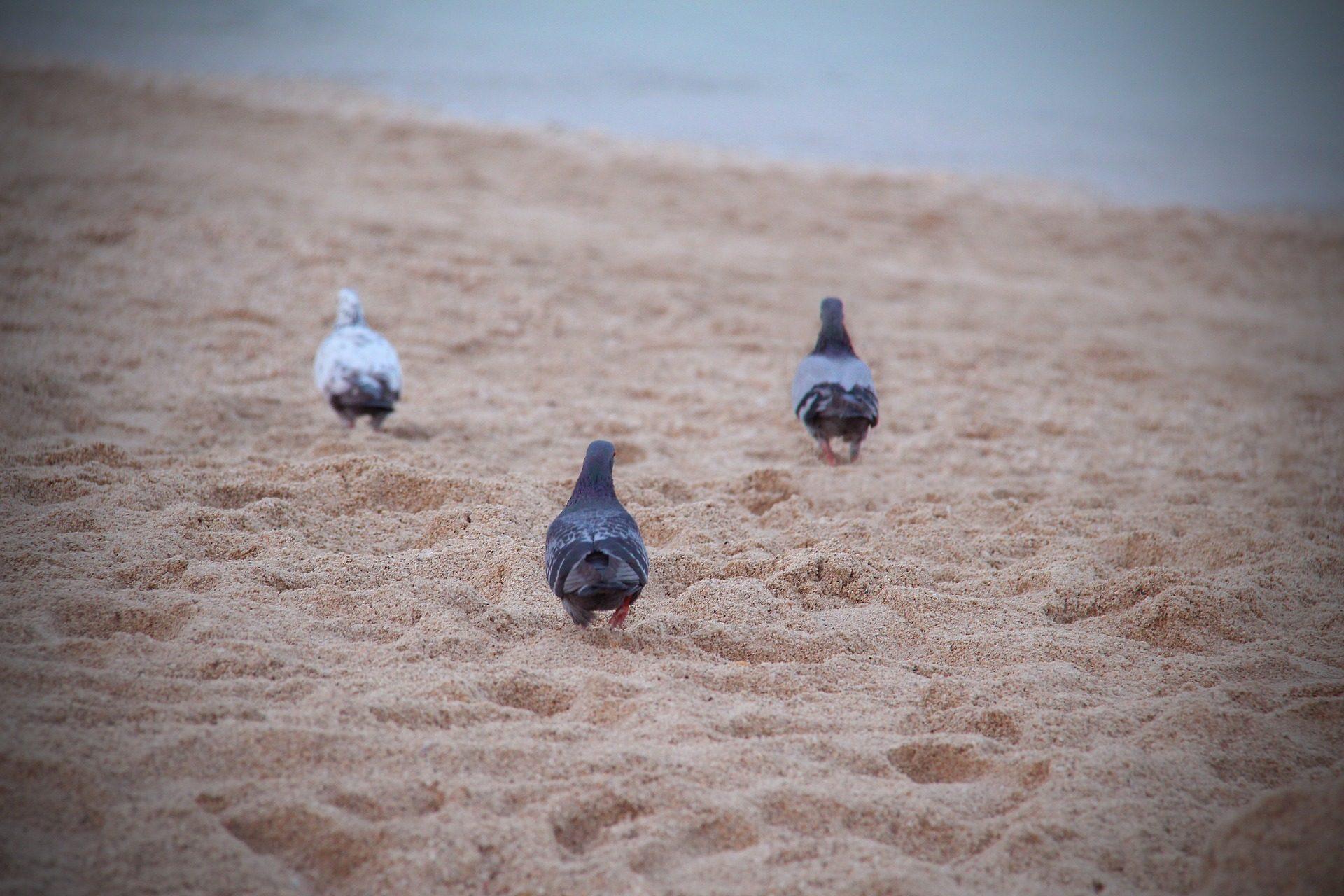 कबूतर, pájaros, पक्षी, समुद्र तट, रेत - HD वॉलपेपर - प्रोफेसर-falken.com