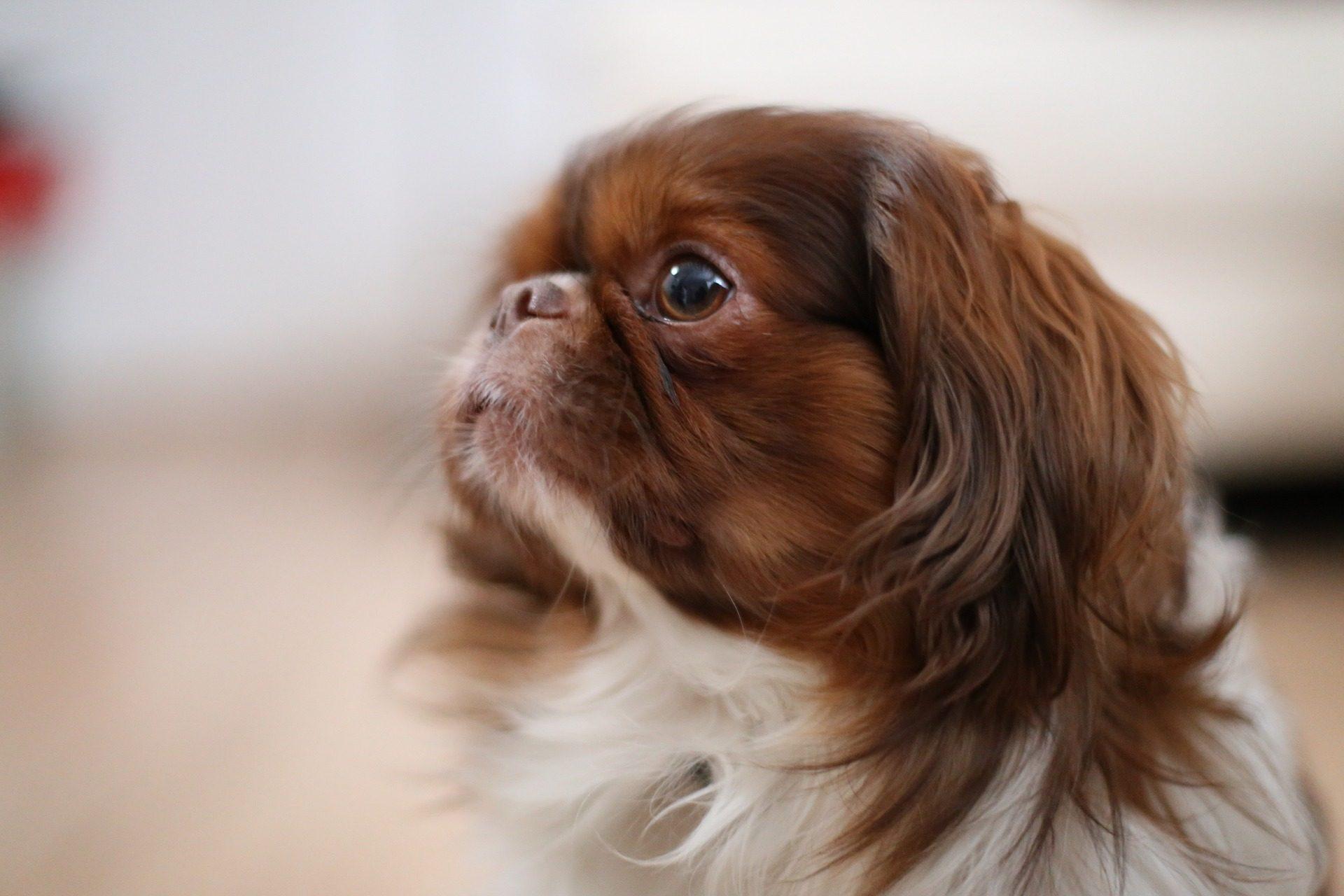 狗, 宠物, 朋友, 毛皮, 看看 - 高清壁纸 - 教授-falken.com