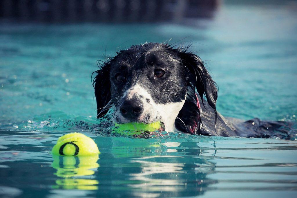 狗, 球, 水, 培训, 游泳, 1803192221