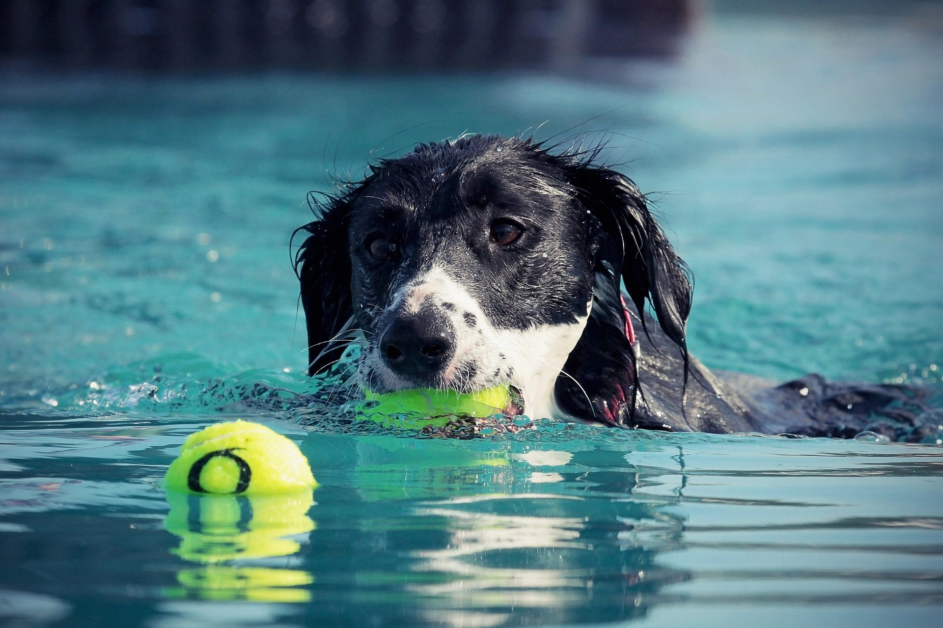 σκύλος, μπάλες, νερό, εκπαίδευση, Κολυμπήστε - Wallpapers HD - Professor-falken.com