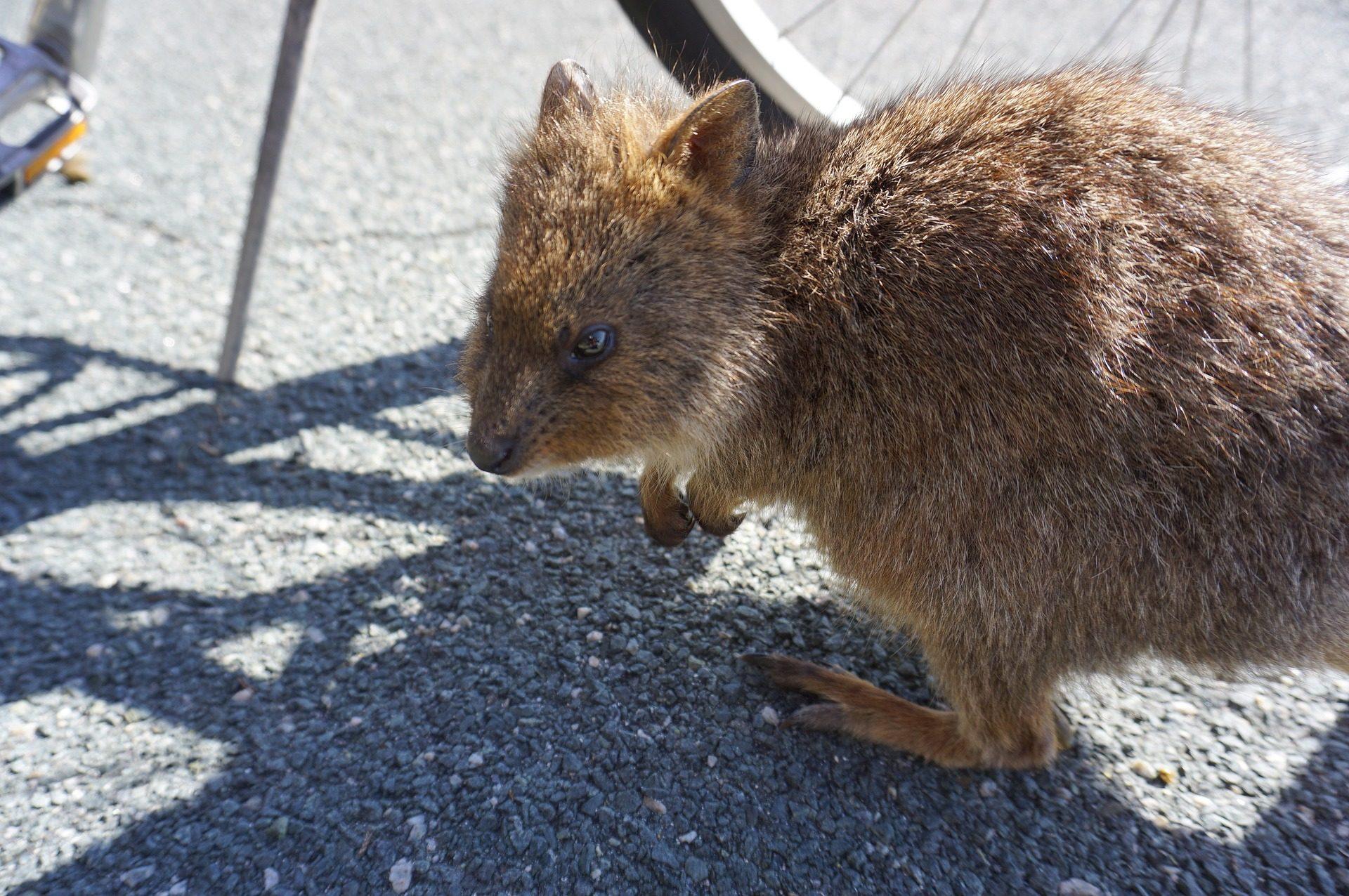 Setonix brachyurus, marsupial, raro, Extraño, Perth, Austrália - Papéis de parede HD - Professor-falken.com