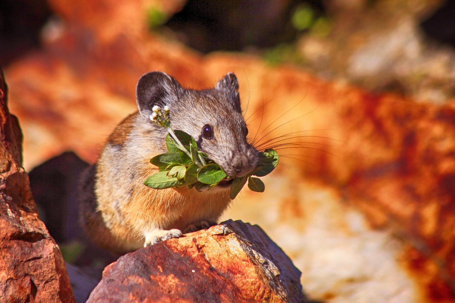 rato, Hamster, Ramos, comida, roedor - Papéis de parede HD - Professor-falken.com
