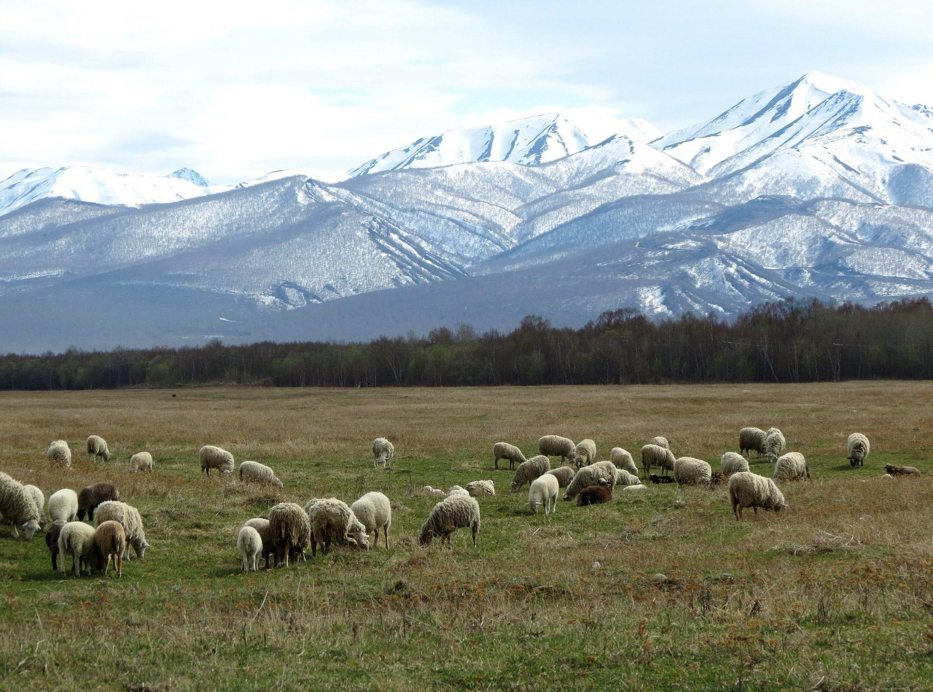 群れ, 羊, 放牧, モンタナス, 降雪 - HD の壁紙 - 教授-falken.com