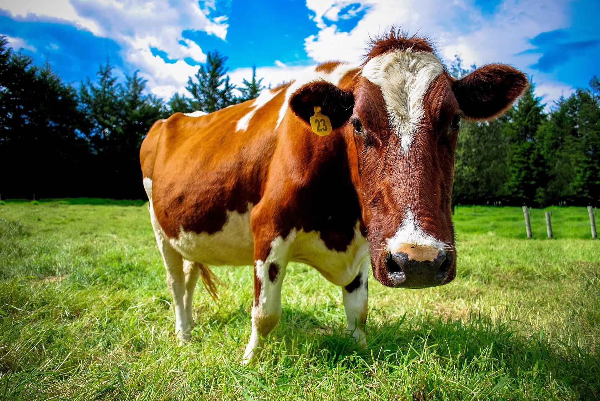 vaca, gado, bovino, pastoreio, PRADO, árvores, nuvens - Papéis de parede HD - Professor-falken.com
