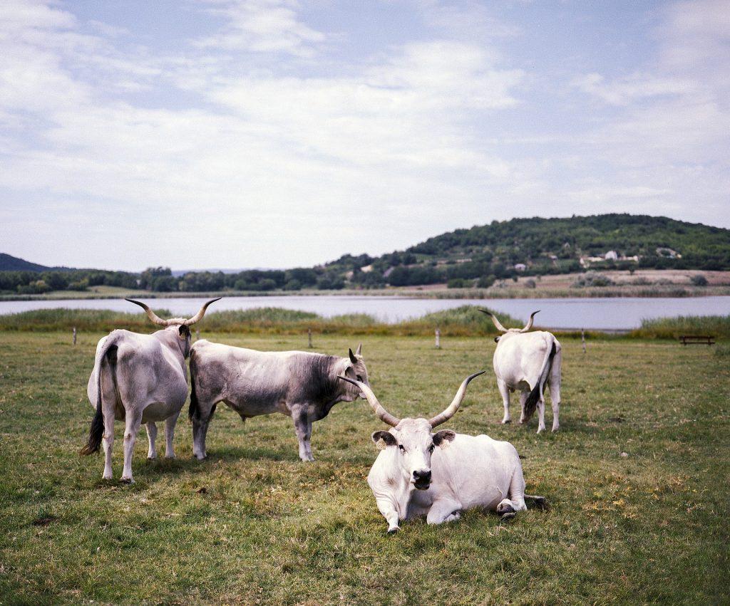 母牛, 牲畜, 放牧, 字段, · 帕德隆, 喇叭, 1803201111