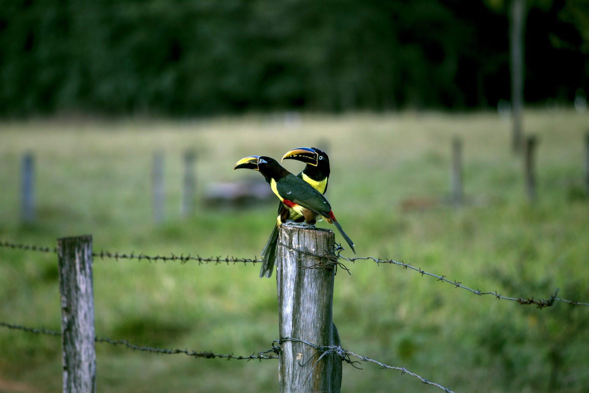 Aracaris, toucans, pájaros, पक्षी, बाड़, पदों, फ़ील्ड - HD वॉलपेपर - प्रोफेसर-falken.com
