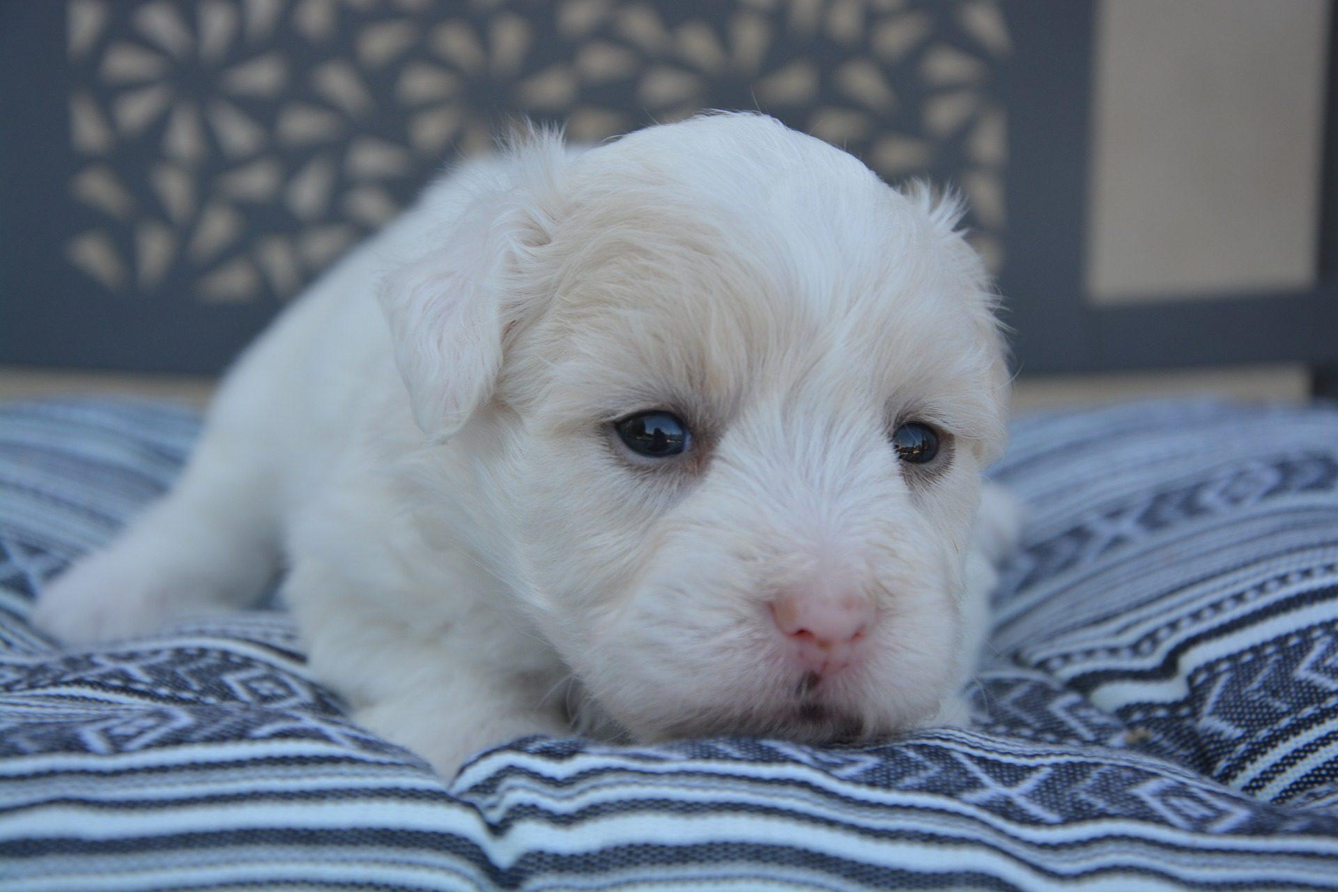 Το κουτάβι, σκύλος, αναπαραγωγής, γούνα, Κοίτα - Wallpapers HD - Professor-falken.com