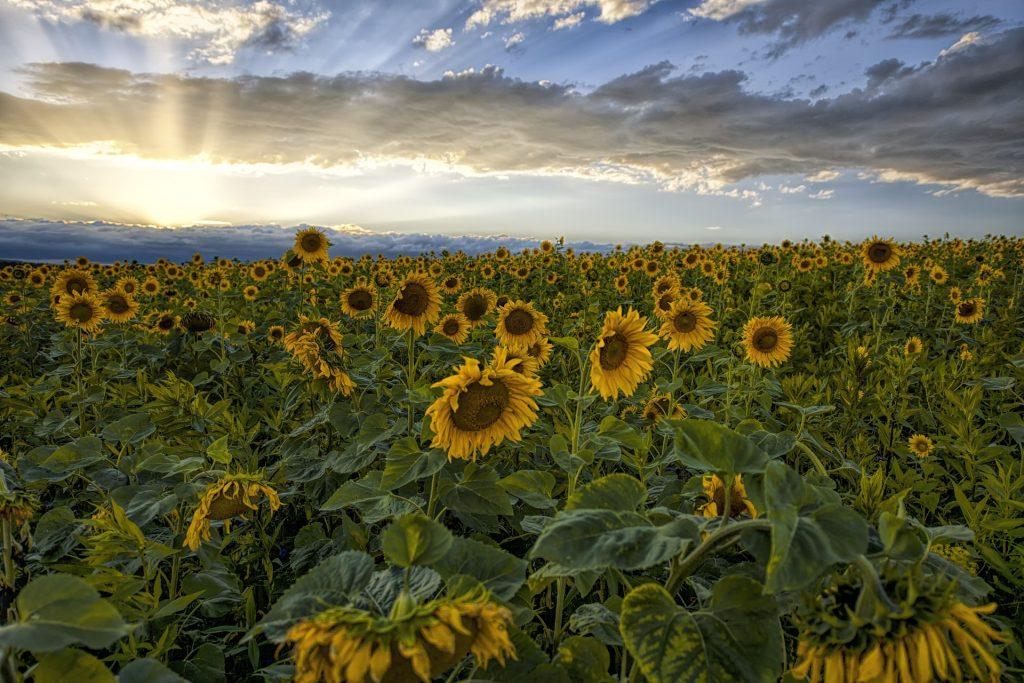 字段, 人工林, 培养, 向日葵, 天空, 太阳, 光线, 1804241718