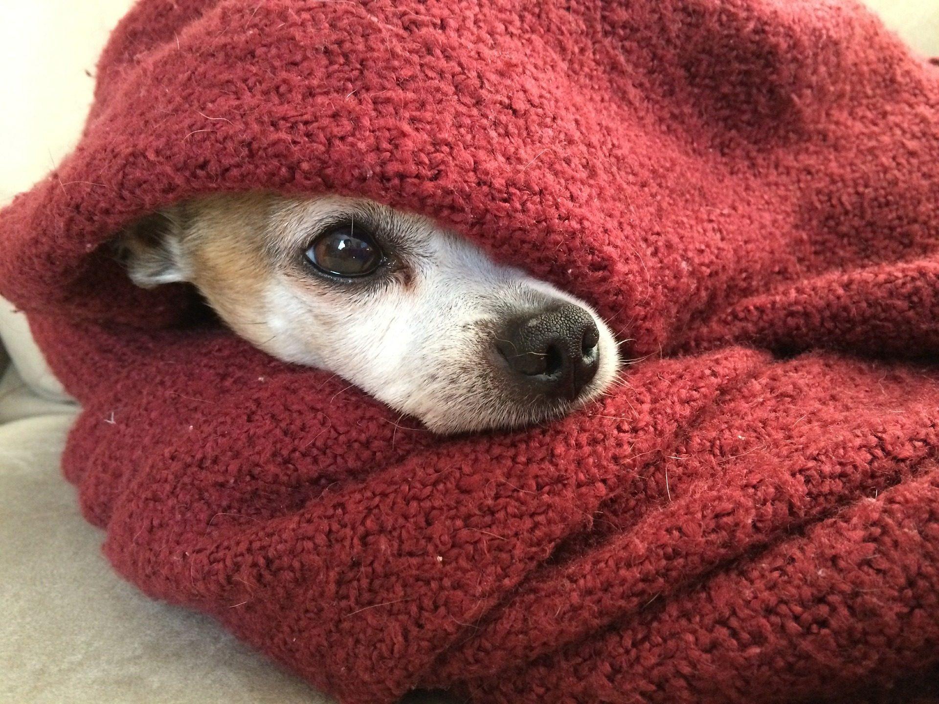 Τσιουάουα, σκύλος, Κατοικίδιο ζώο, manta, κρυφό - Wallpapers HD - Professor-falken.com