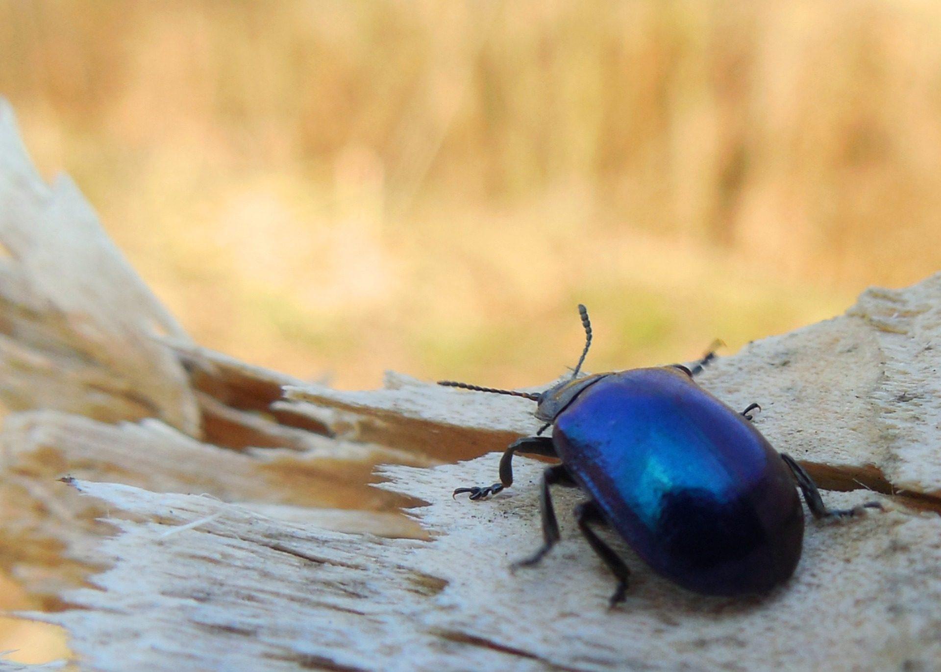 escarabajo, azul, insecto, antenas, patas, madera - Fondos de Pantalla HD - professor-falken.com