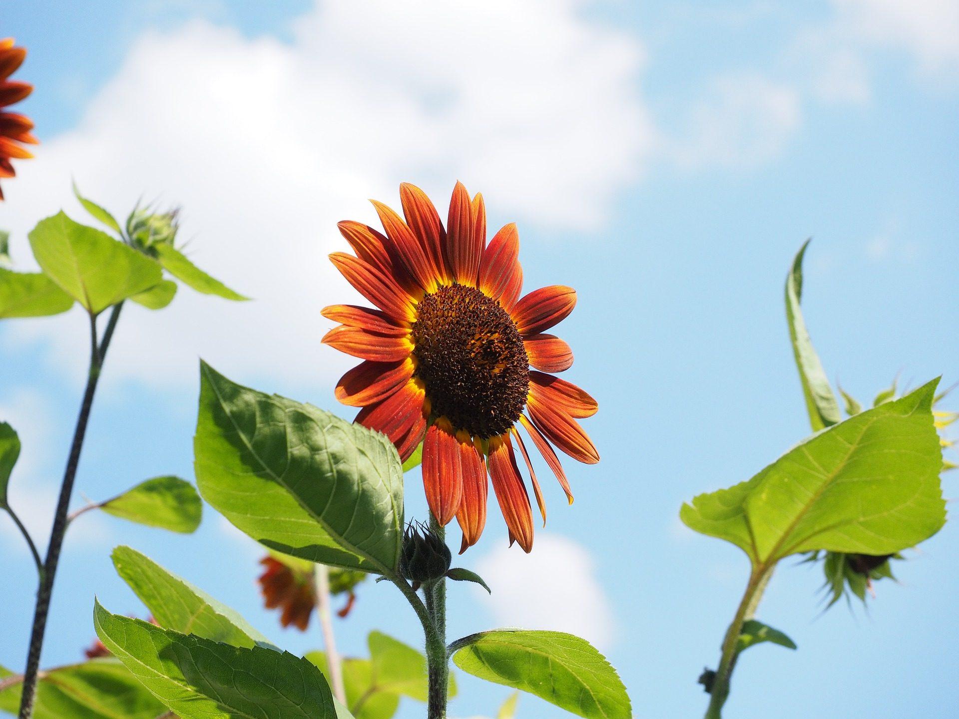 Girasole, Rosso, fiore, piante, foglie - Sfondi HD - Professor-falken.com