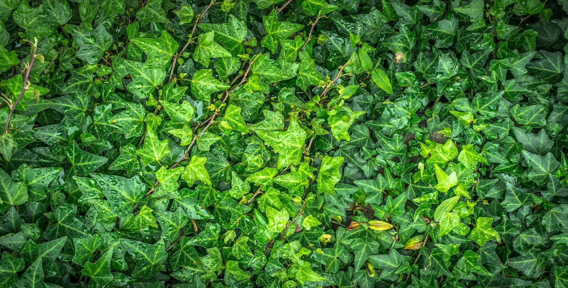 folhas, plantas, vegetación, Rastejante, Verde - Papéis de parede HD - Professor-falken.com