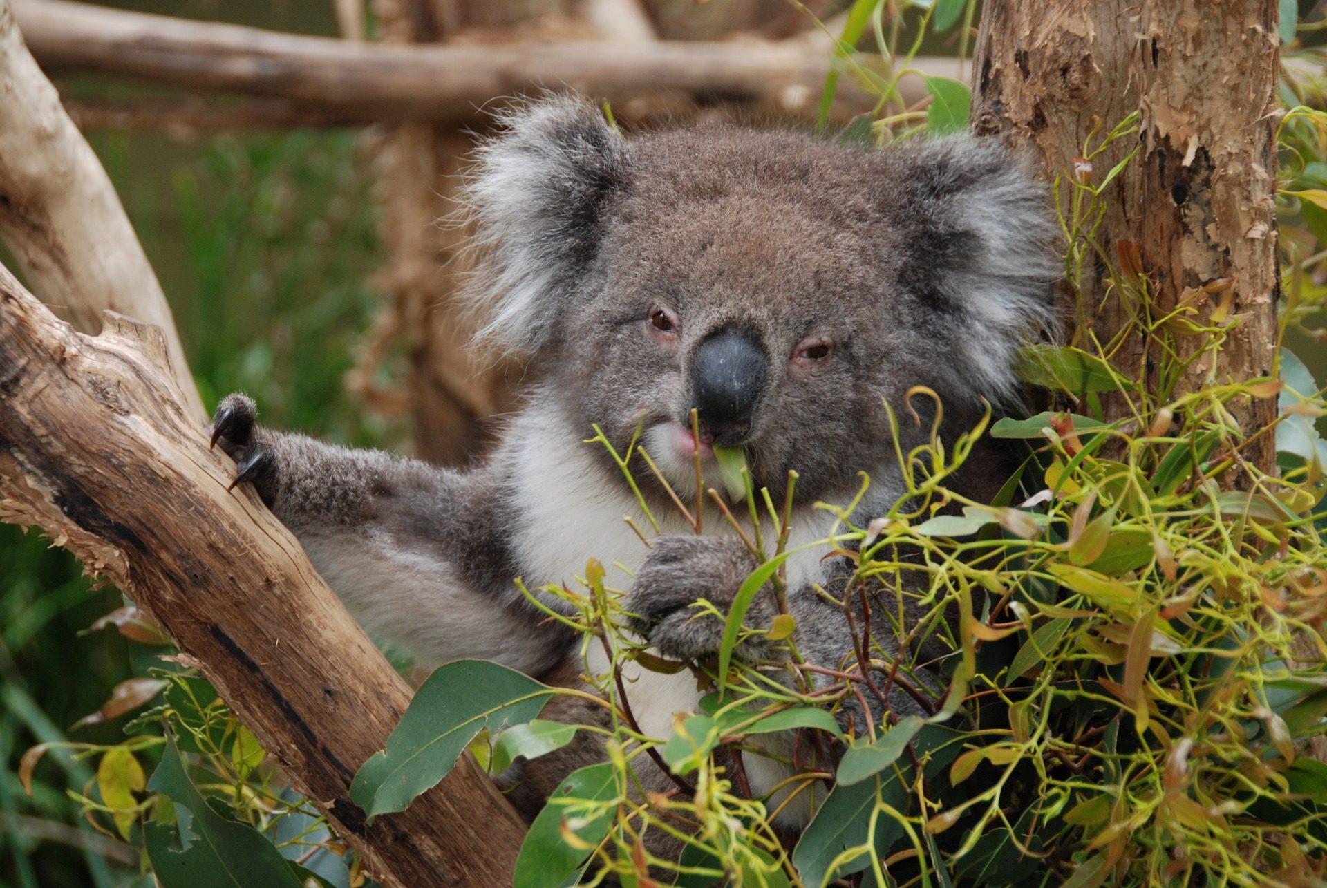 Koala, griffes, Direction générale de la, arbre, Eucalyptus, rare, Australie - Fonds d'écran HD - Professor-falken.com