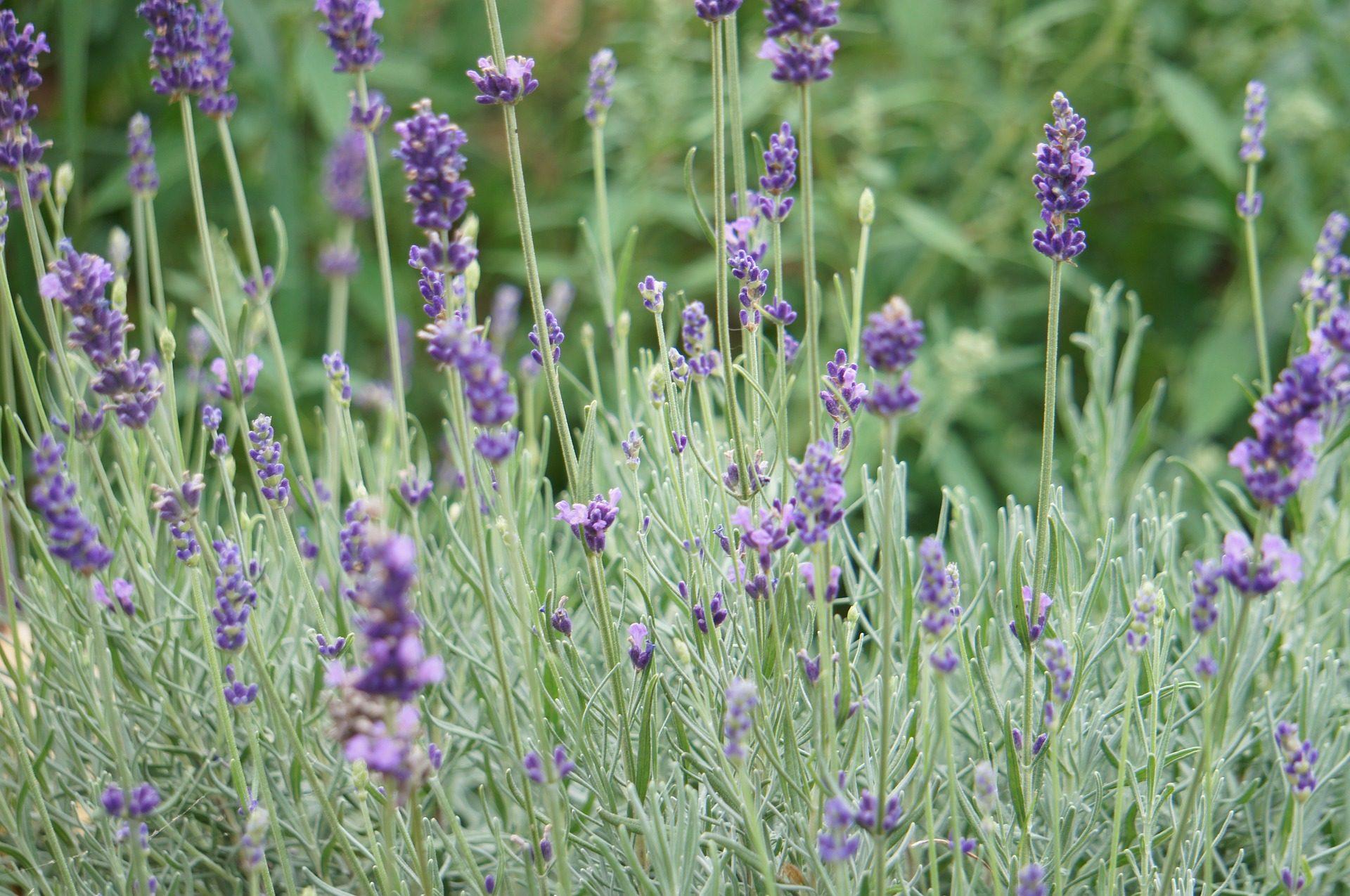 Λεβάντα, πεδίο, Φυτεία, καλλιέργεια, λουλούδι - Wallpapers HD - Professor-falken.com