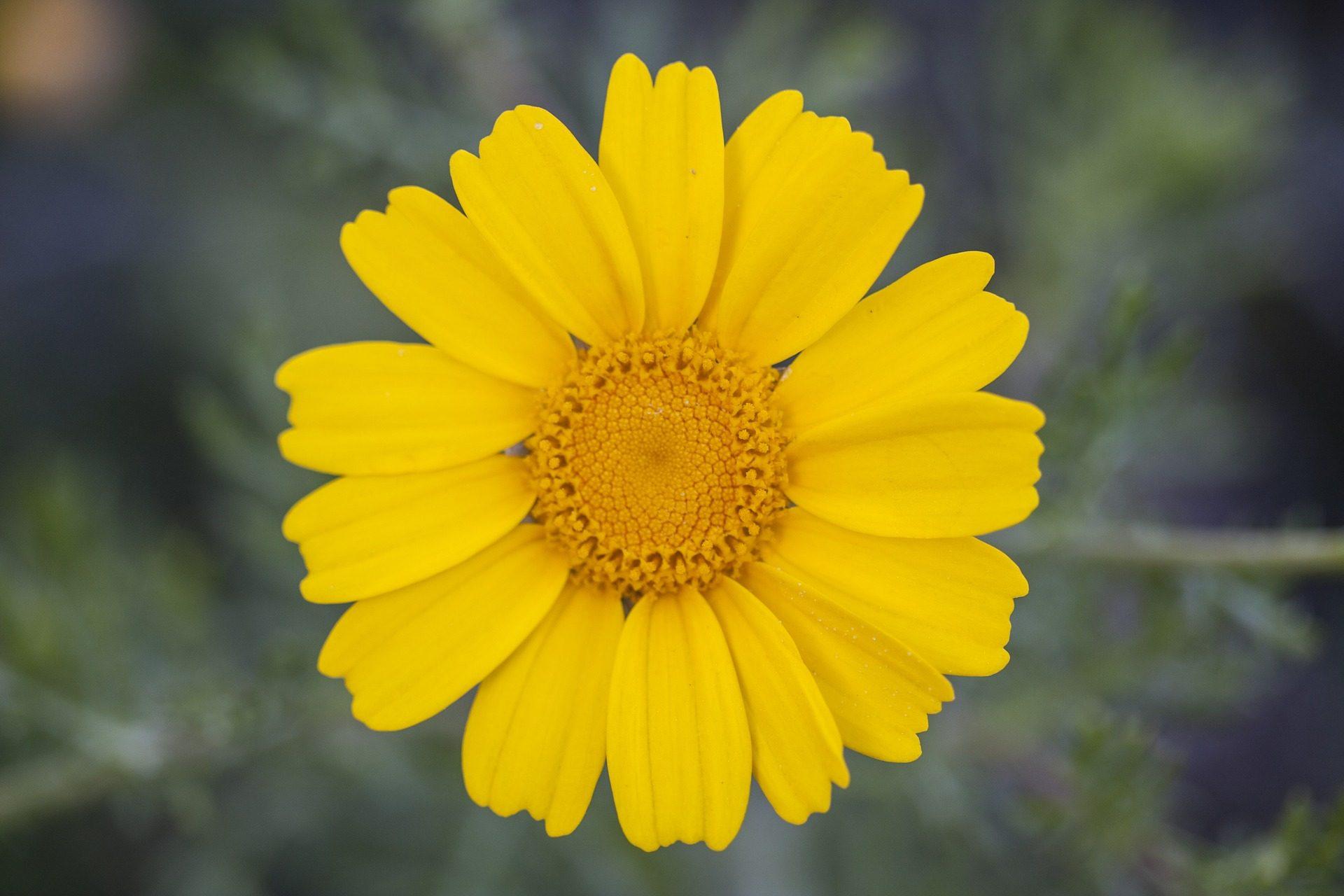 margarita, flor, pétalos, amarilla, polen, de cerca - Fondos de Pantalla HD - professor-falken.com