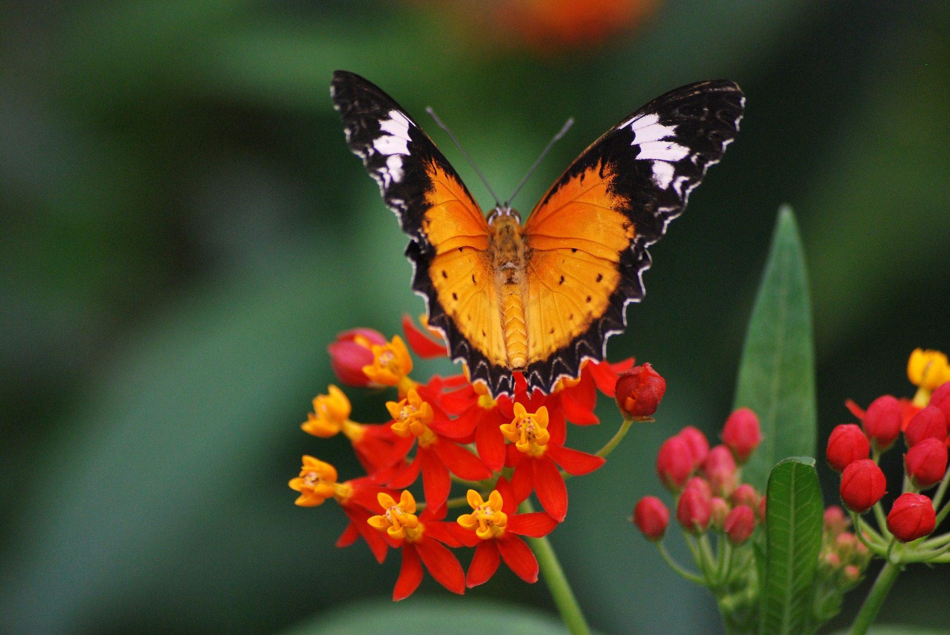 Papillon, fleur, ,pétales, insecte, ailes, coloré - Fonds d'écran HD - Professor-falken.com