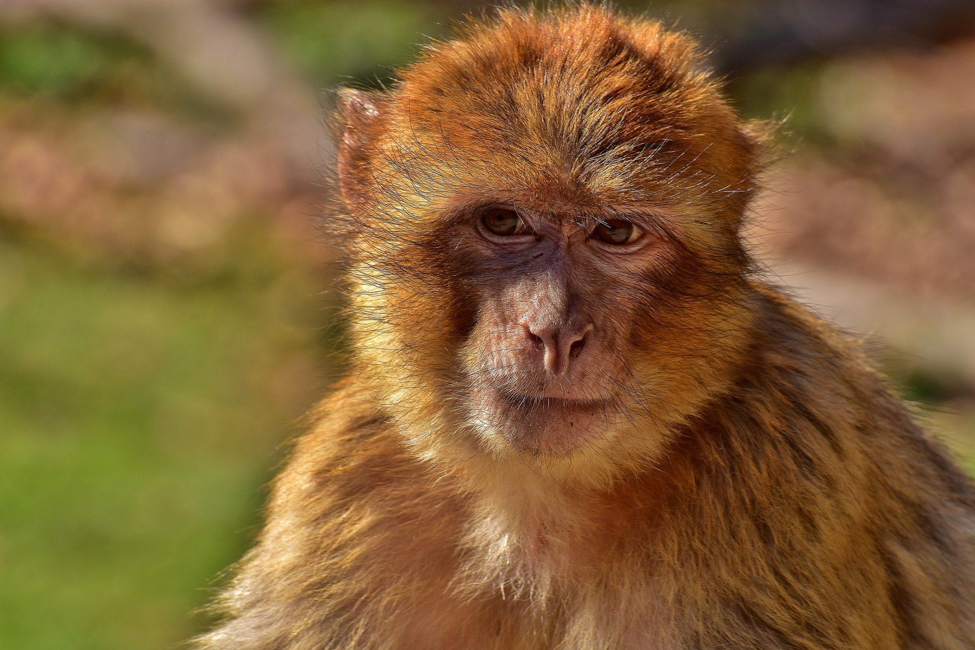 mono, SCIMMIA, Macaco, pelliccia, sguardo - Sfondi HD - Professor-falken.com