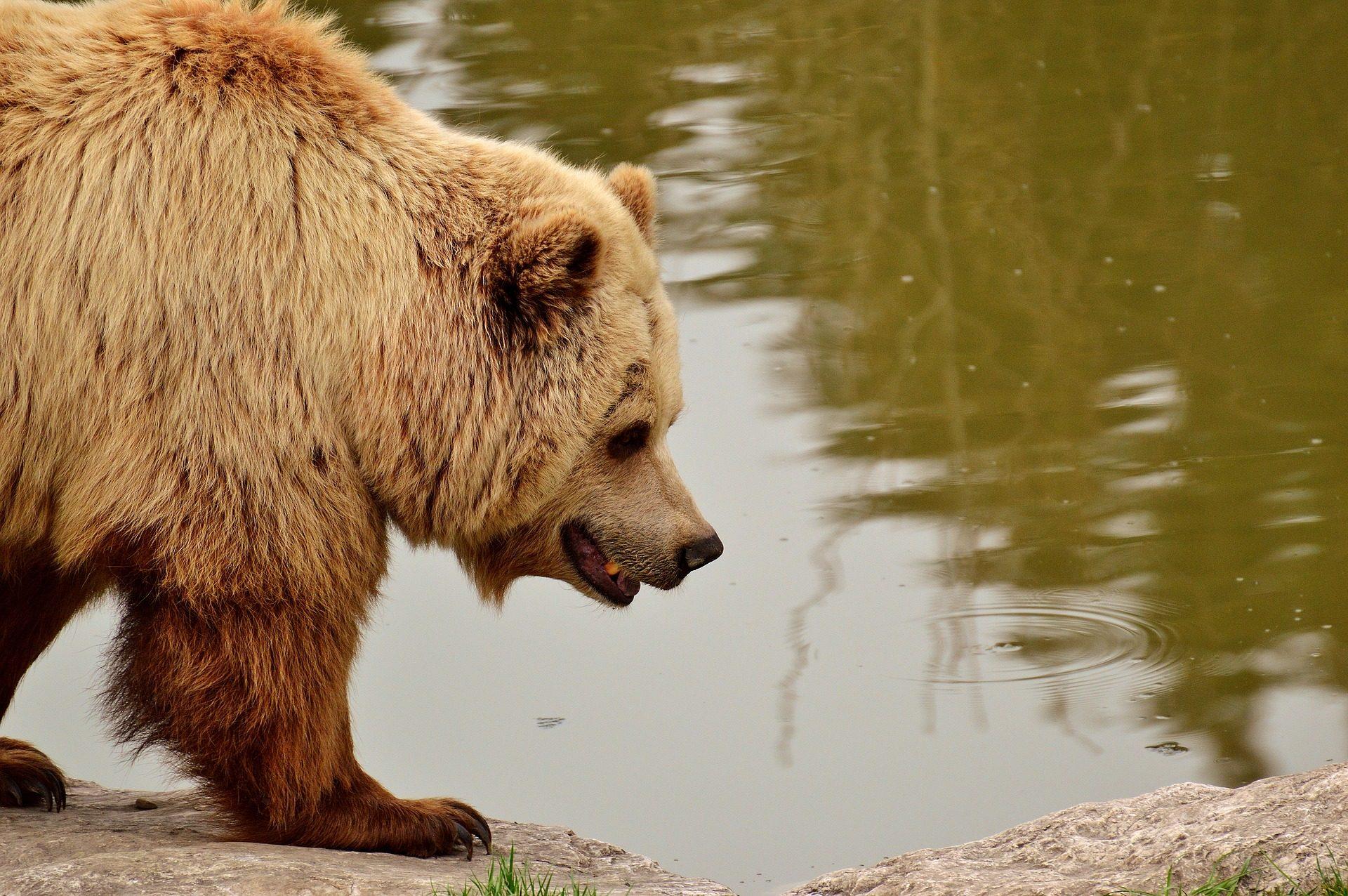 urso, peles, garras, charca, plantígrado - Papéis de parede HD - Professor-falken.com