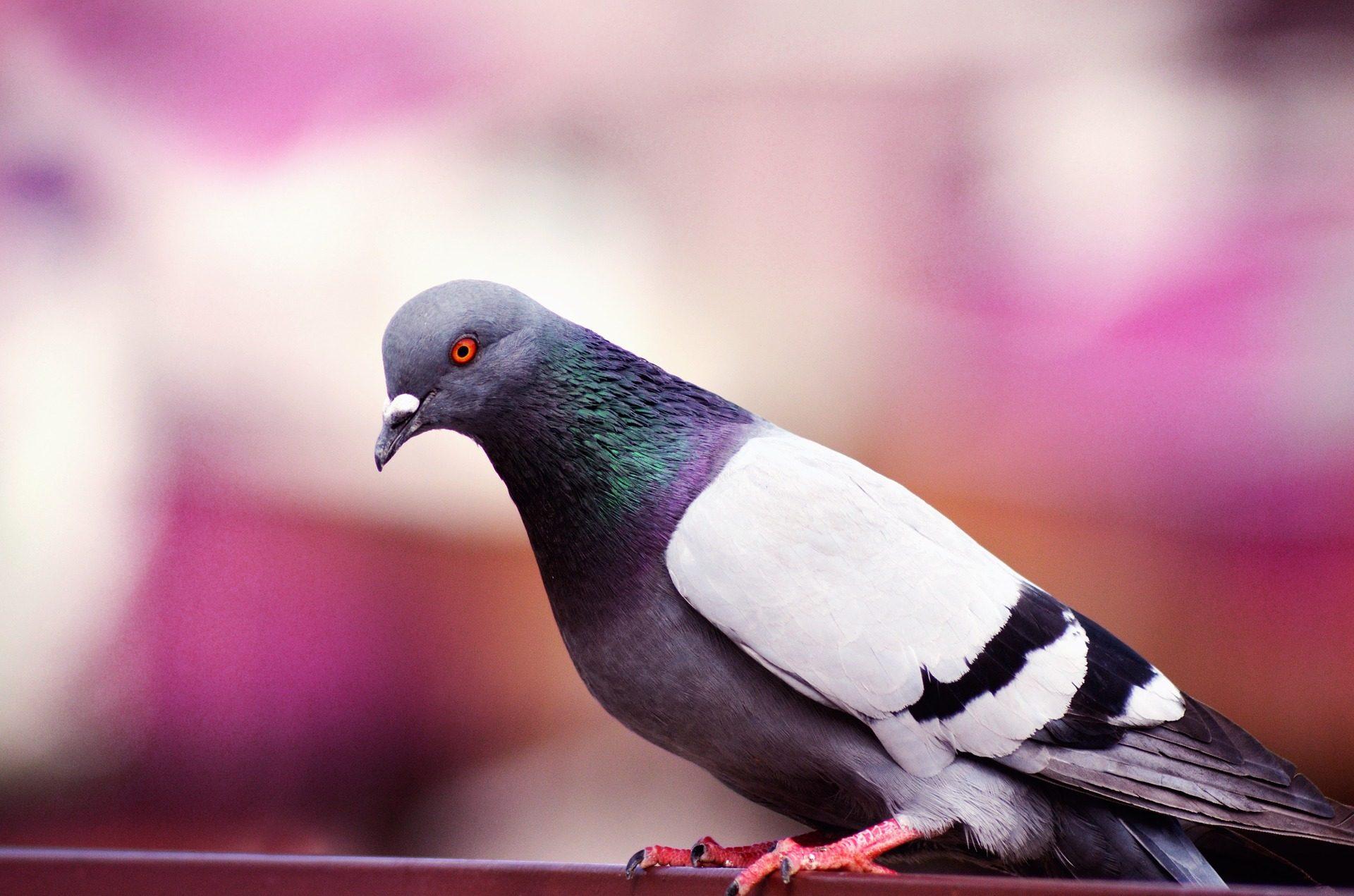 paloma, ave, pájaro, plumaje, colorido, mirada - Fondos de Pantalla HD - professor-falken.com