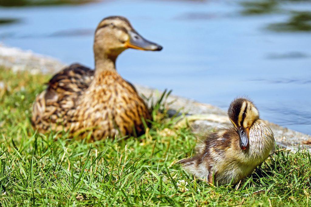 pato, cría, estanque, lago, hierba, 1804221908