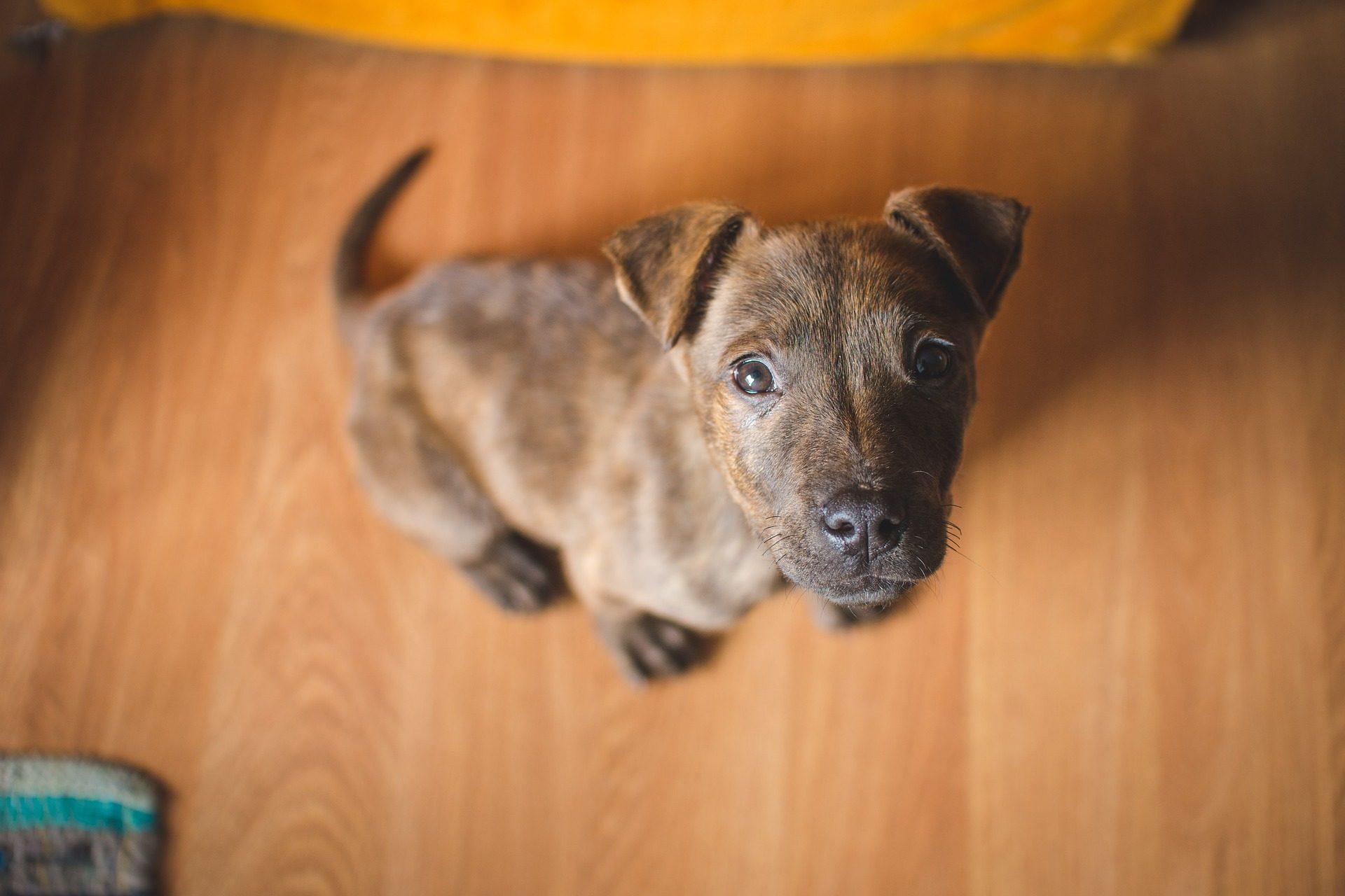 Hund, Welpe, Haustier, Zucht, Blick, Pelz - Wallpaper HD - Prof.-falken.com