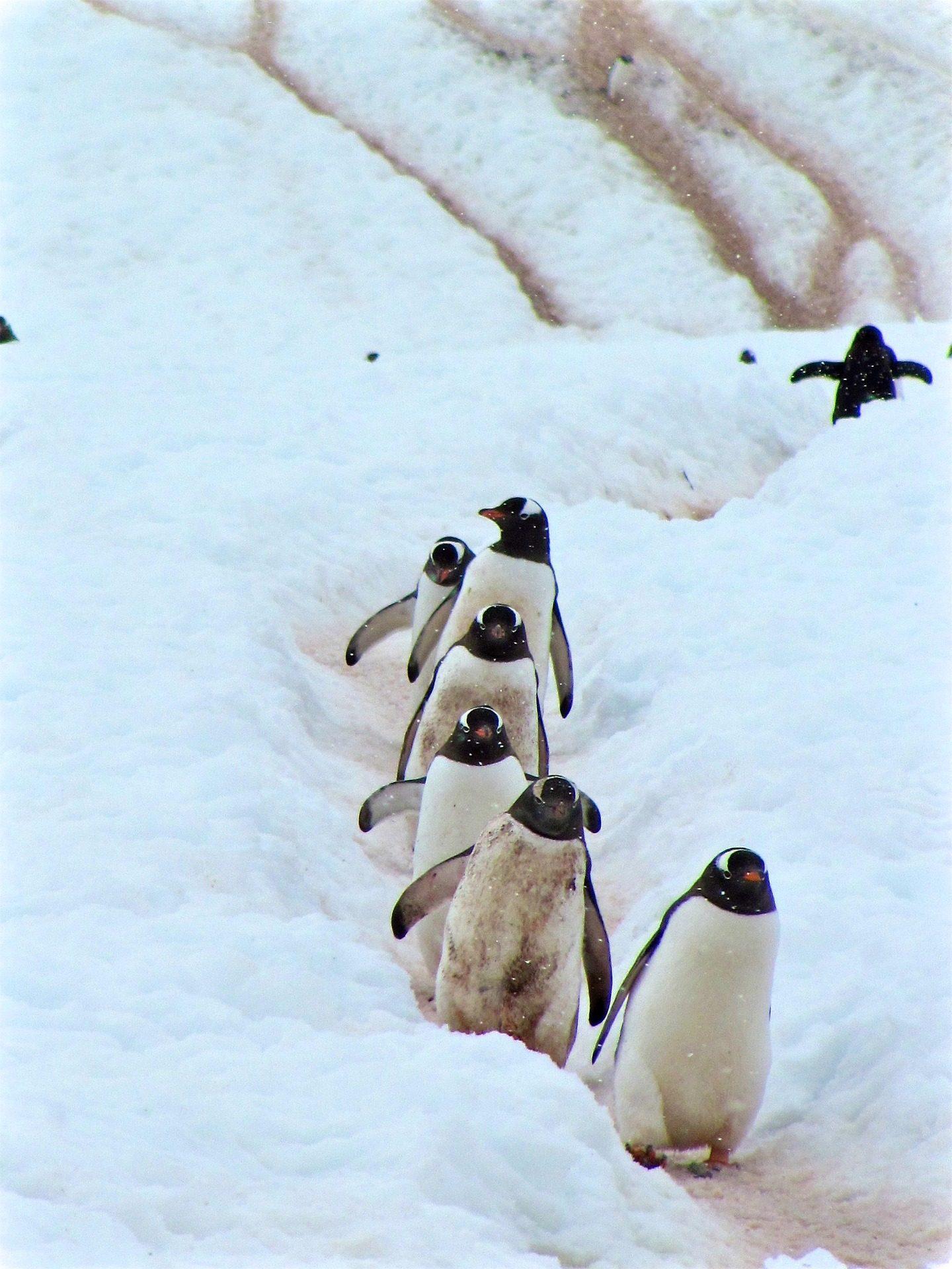 pingüinos, πουλιά, χιόνι, Χειμώνα, κρύο - Wallpapers HD - Professor-falken.com
