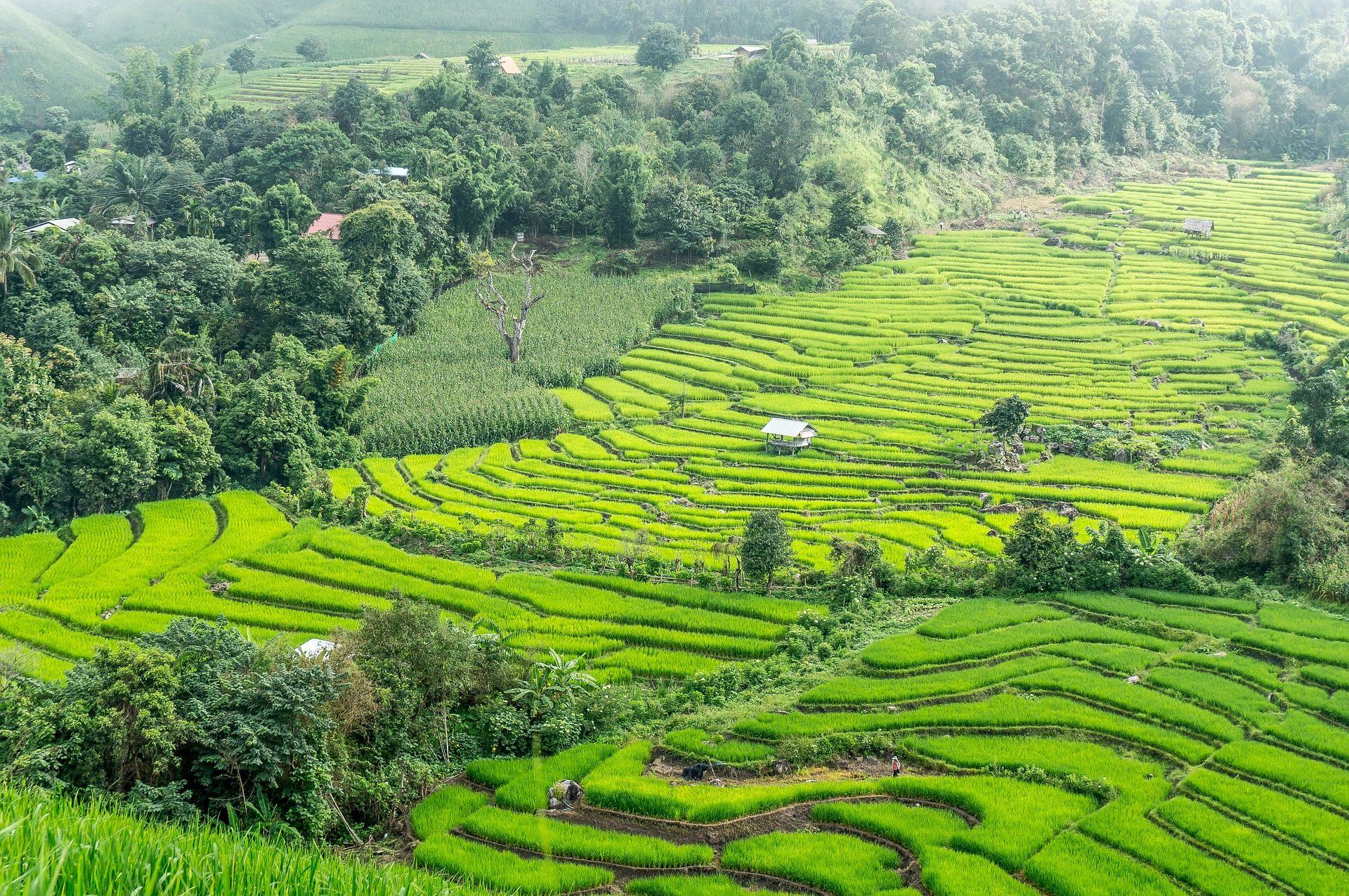 人工林, 大米, 农业, 字段, 清迈, 泰国 - 高清壁纸 - 教授-falken.com
