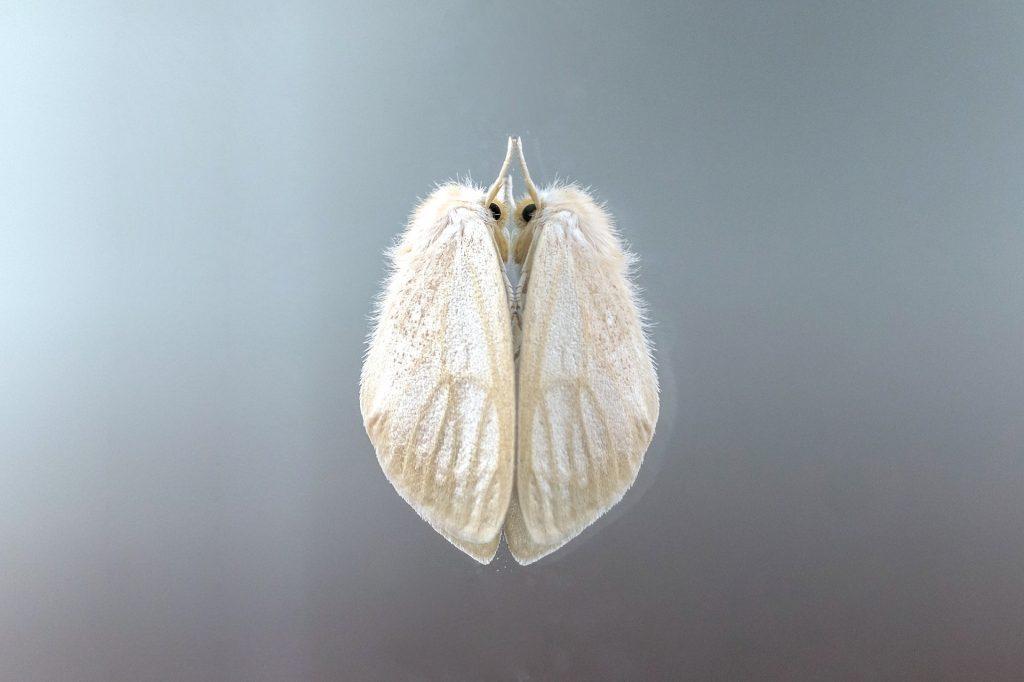polilla, insecto, alas, pelos, polvo, de cerca, 1804031509