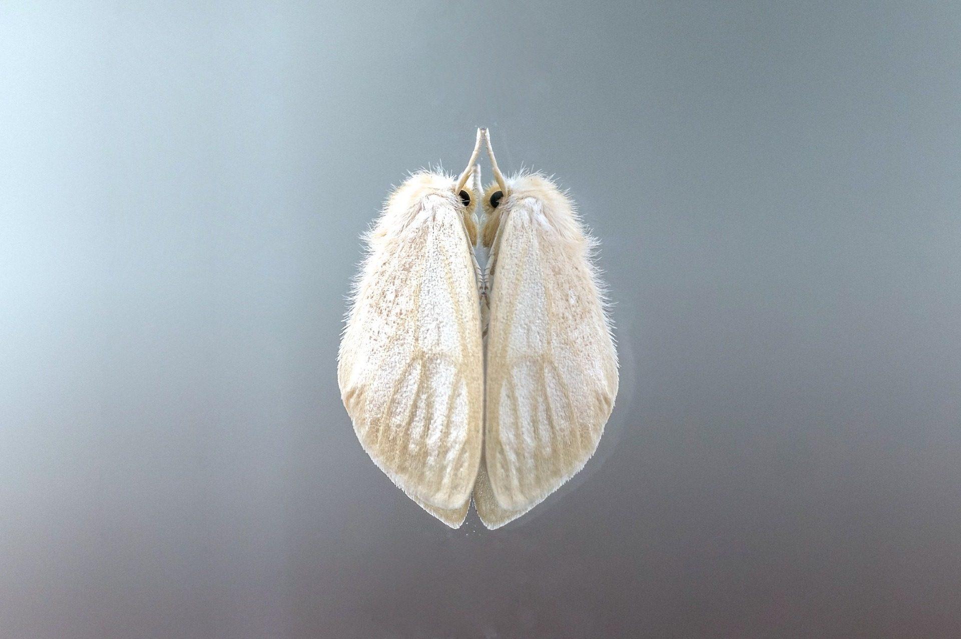 polilla, έντομο, φτερά, τρίχες, σκόνη, σχετικά με - Wallpapers HD - Professor-falken.com