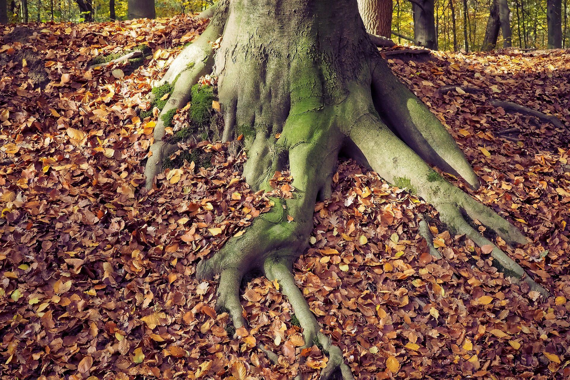 árbol, raíces, hojas, hojarasca, bosque - Fondos de Pantalla HD - professor-falken.com