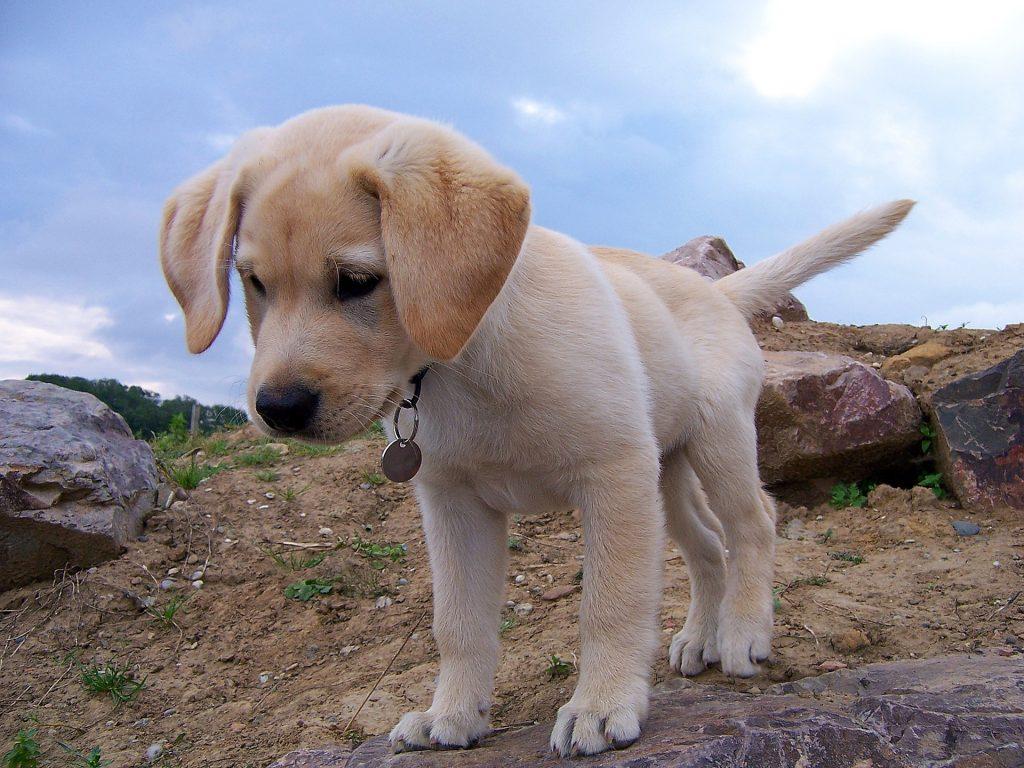 cachorro, perro, labrador, collar, colgante, campo, 1805181858