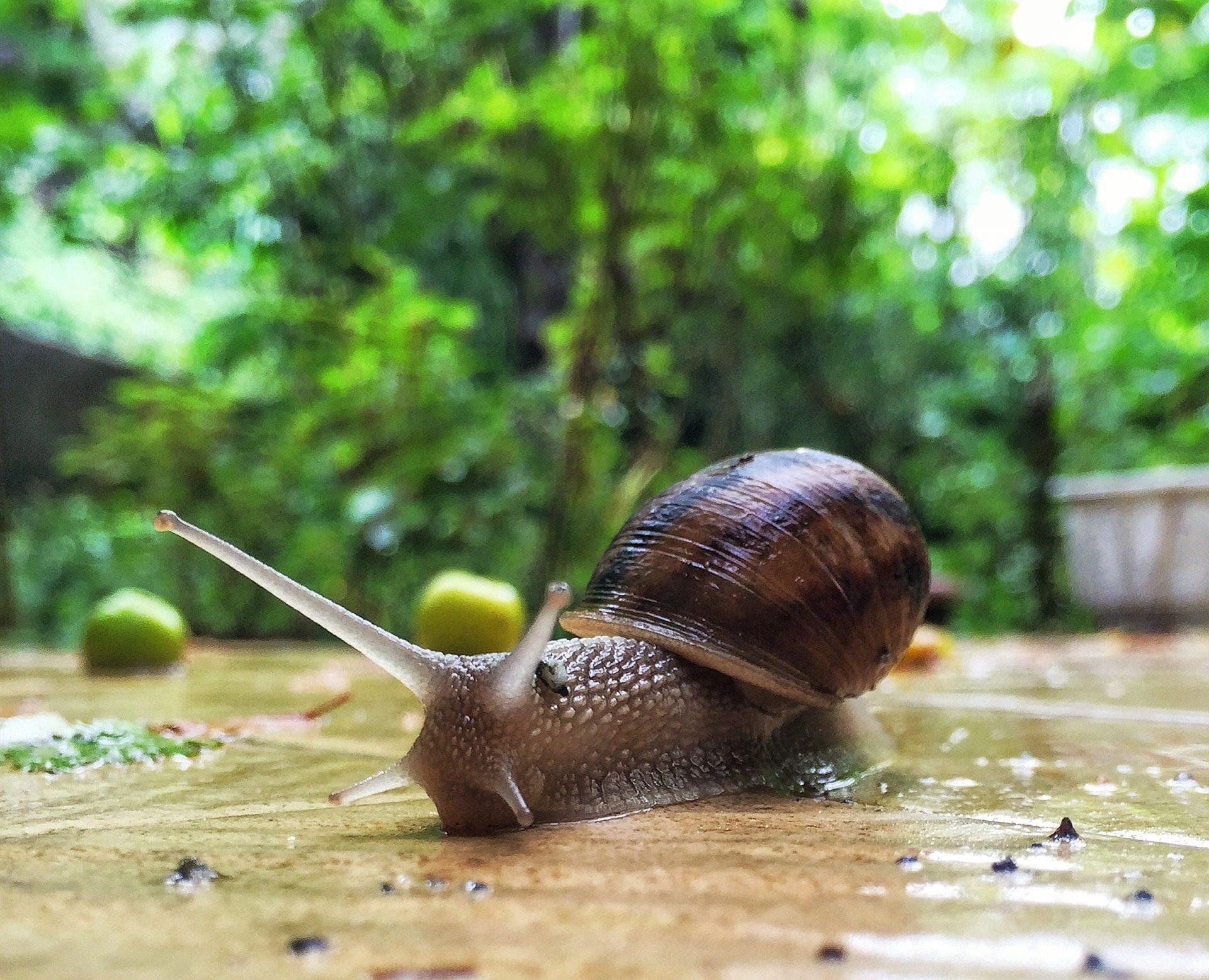 caracol, cuernos, ojos, concha, humedad, molusco - Fondos de Pantalla HD - professor-falken.com