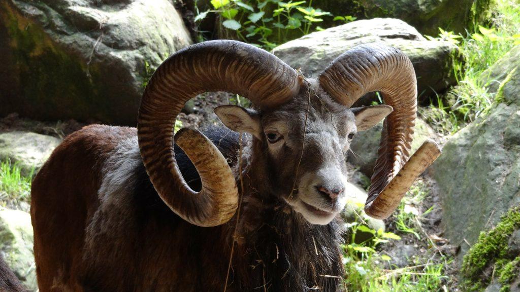 carnero, cabra, cuernos, monte, campo, 1805211154