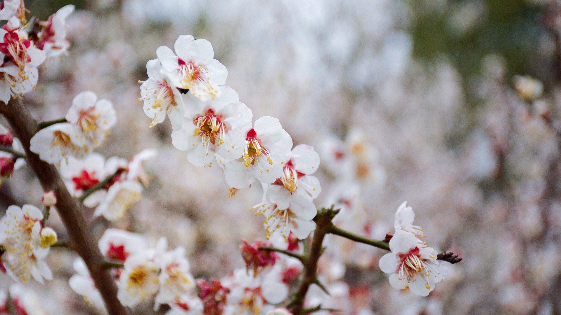 चेरी, फूल, पेड़, शाखा, ब्लूम - HD वॉलपेपर - प्रोफेसर-falken.com