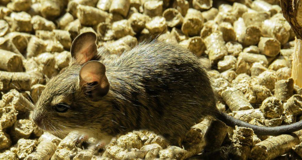 degú, roedor, orejas, rata, cola, 1805172132