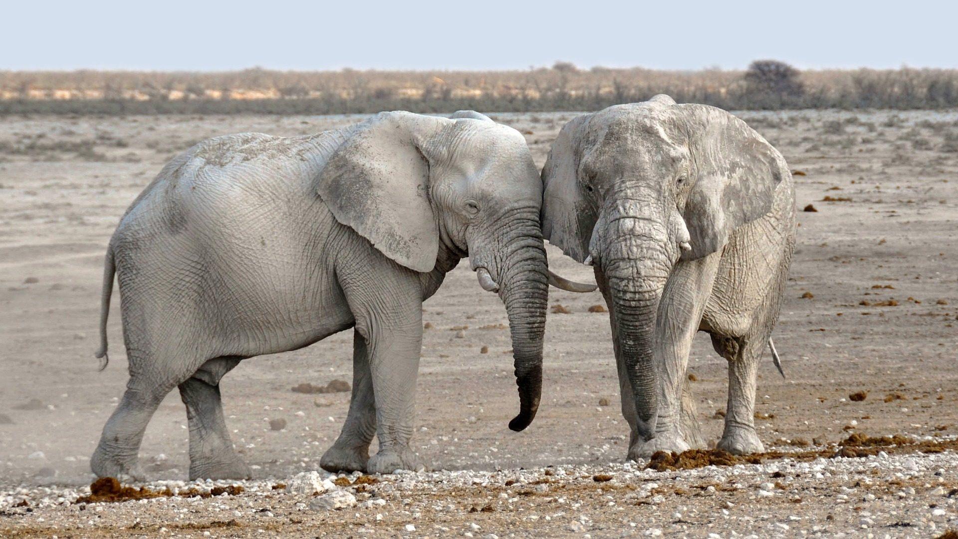 elefanti, coppia, compañeros, deserto, Namibia, Africa - Sfondi HD - Professor-falken.com
