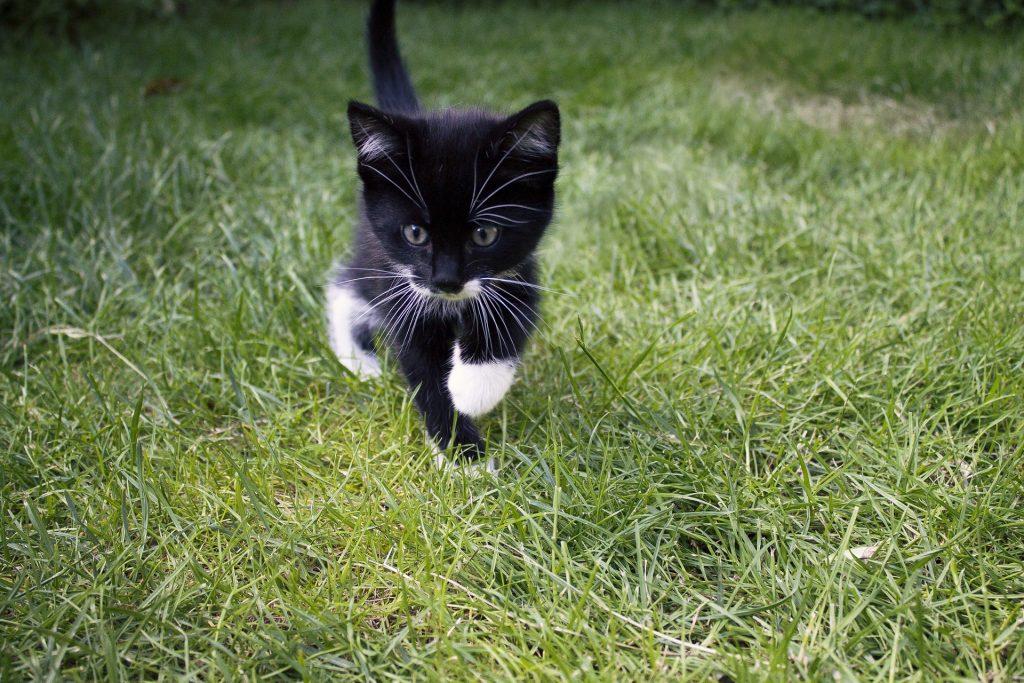 猫, 繁殖, プッシーキャット, 芝生, ガーデン, ひげ, 1805231508