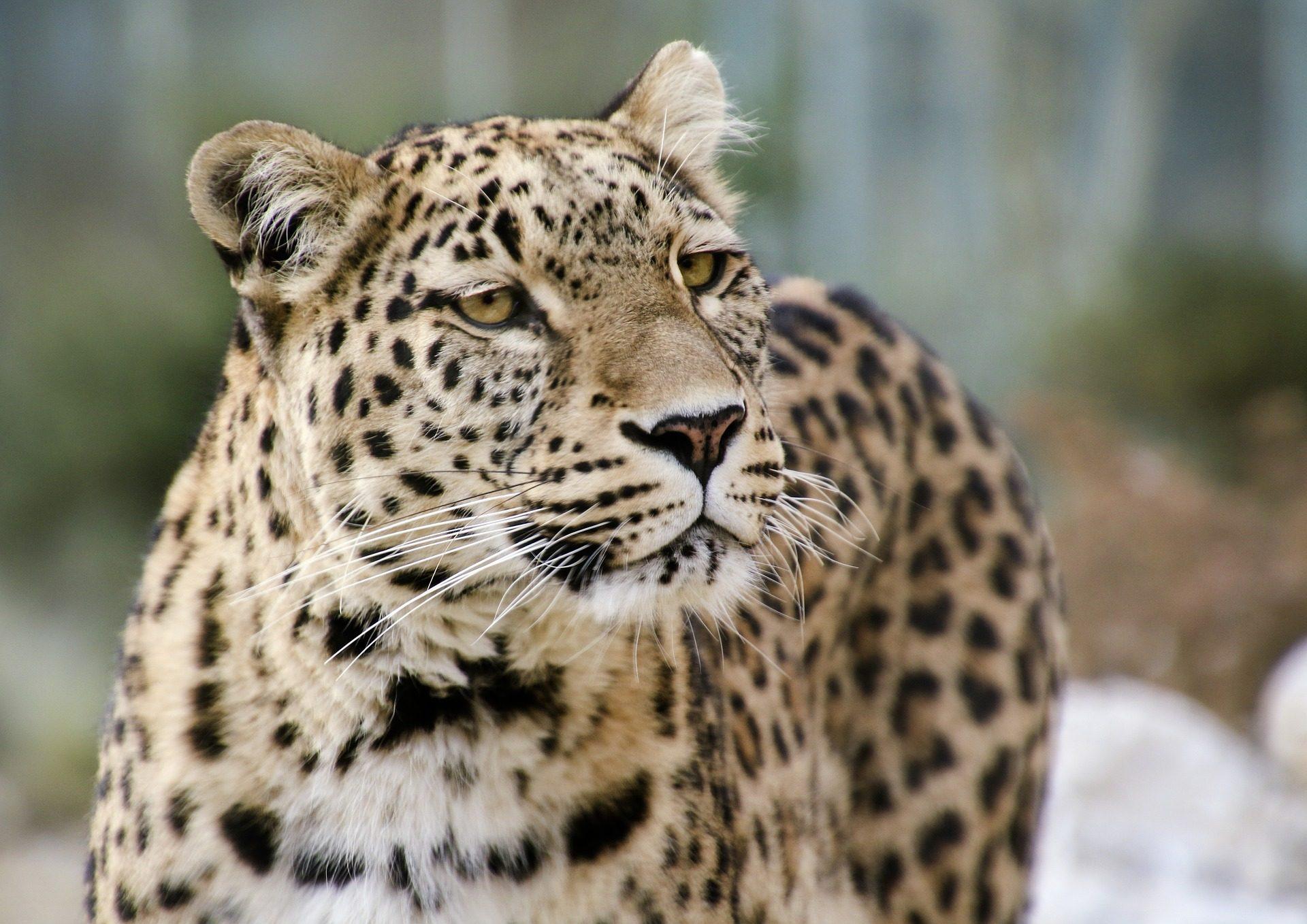 Leopardo, felino, Predator, pelliccia, moteado, baffi - Sfondi HD - Professor-falken.com