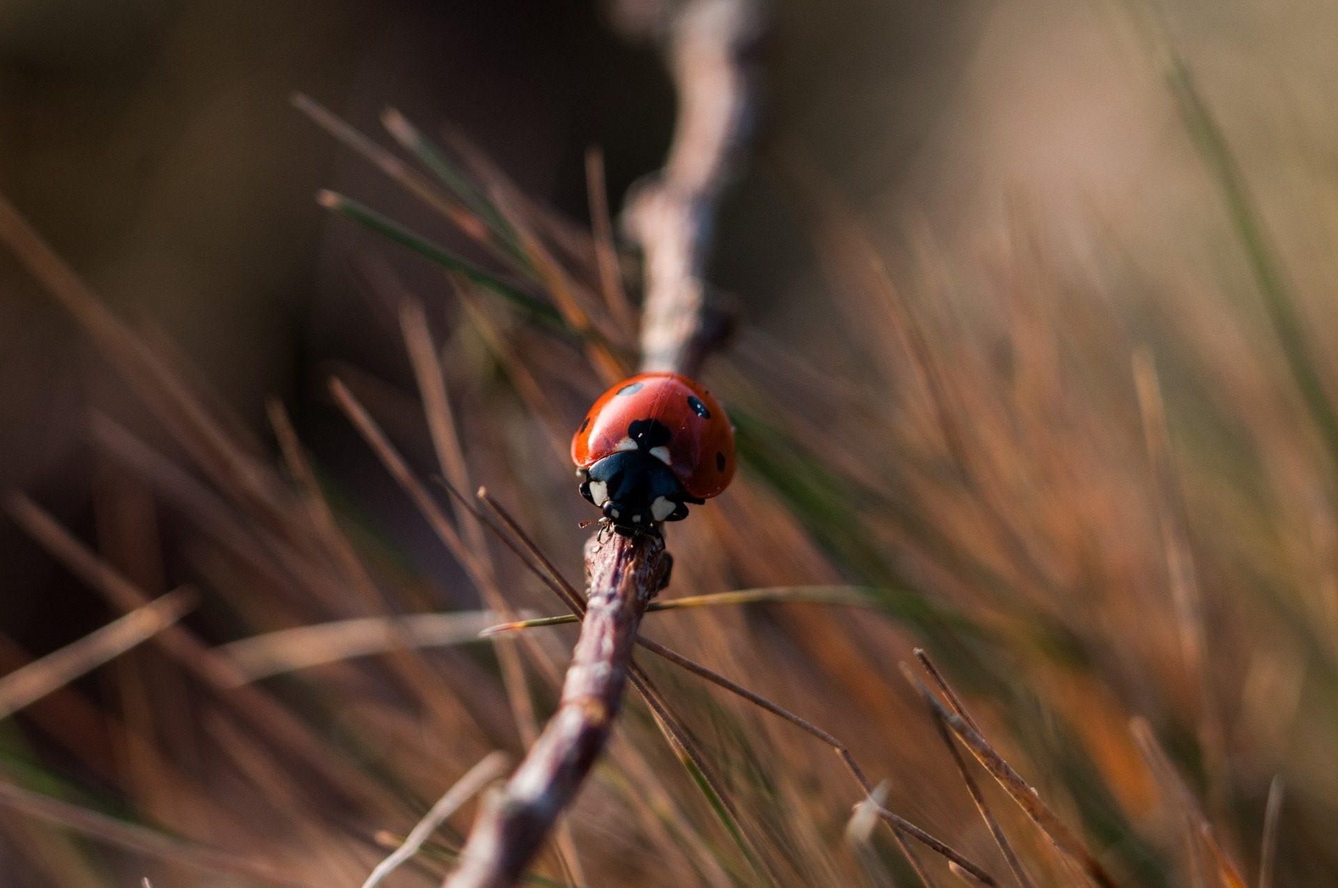 mariquita, insecto, palo, rama, de cerca - Fondos de Pantalla HD - professor-falken.com
