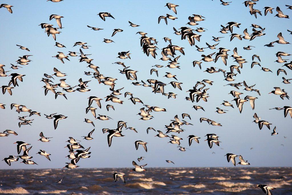 pájaros, bandada, aves, cantidad, mar, 1805201940