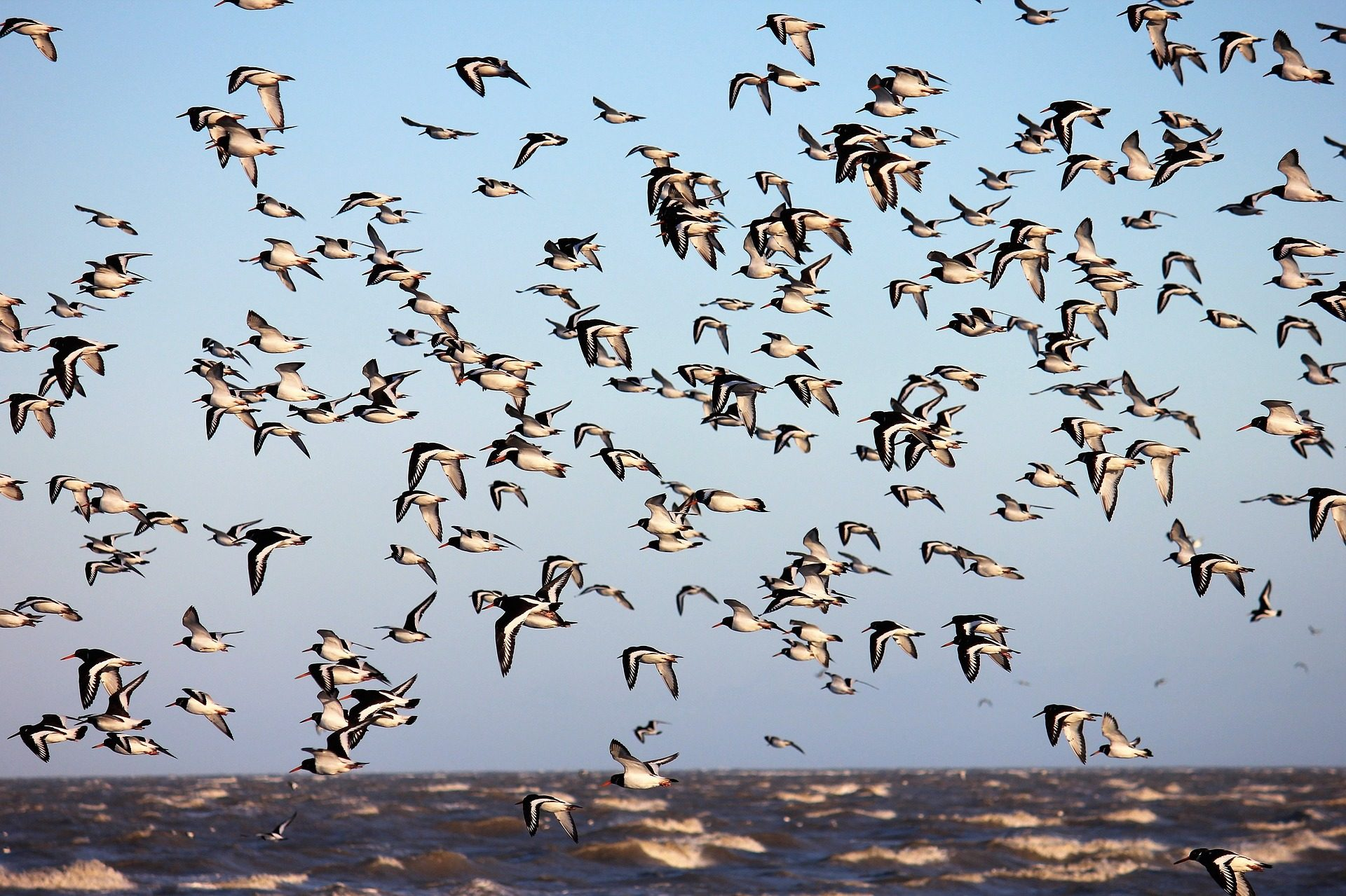 pájaros, قطيع,الطيورs, الكمية, البحر - خلفيات عالية الدقة - أستاذ falken.com
